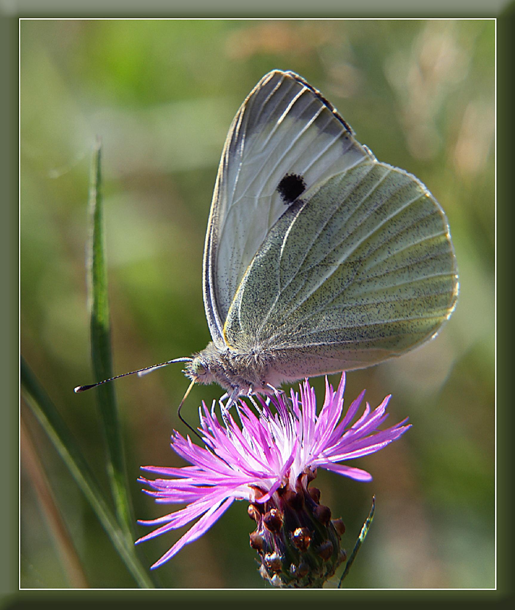 Batterfly by Vladimír Novák