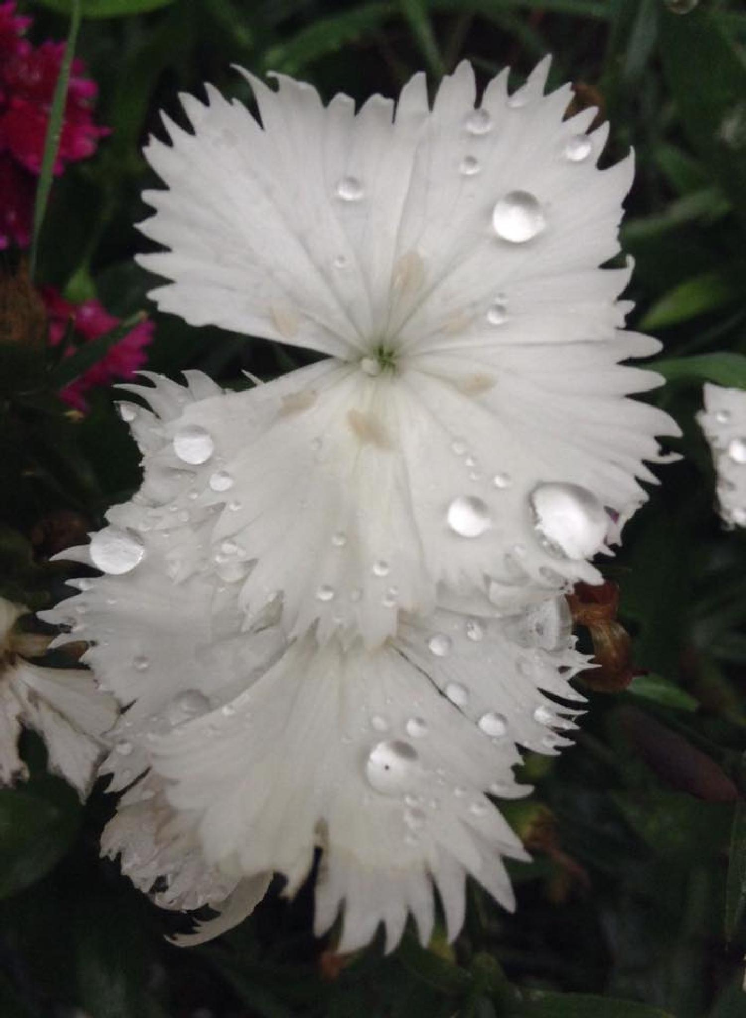 White Dianthus by dandeb2008