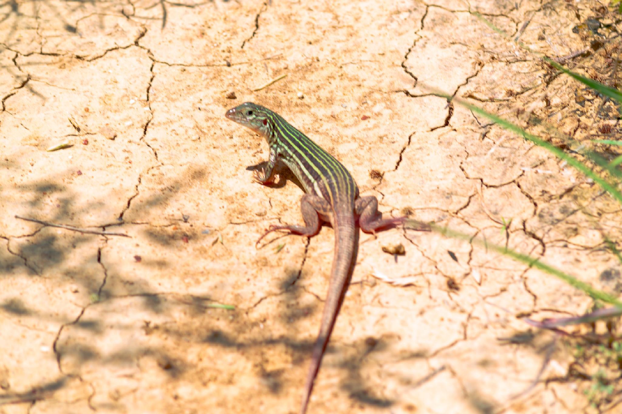 six lined race runner lizard by candiebaldwin
