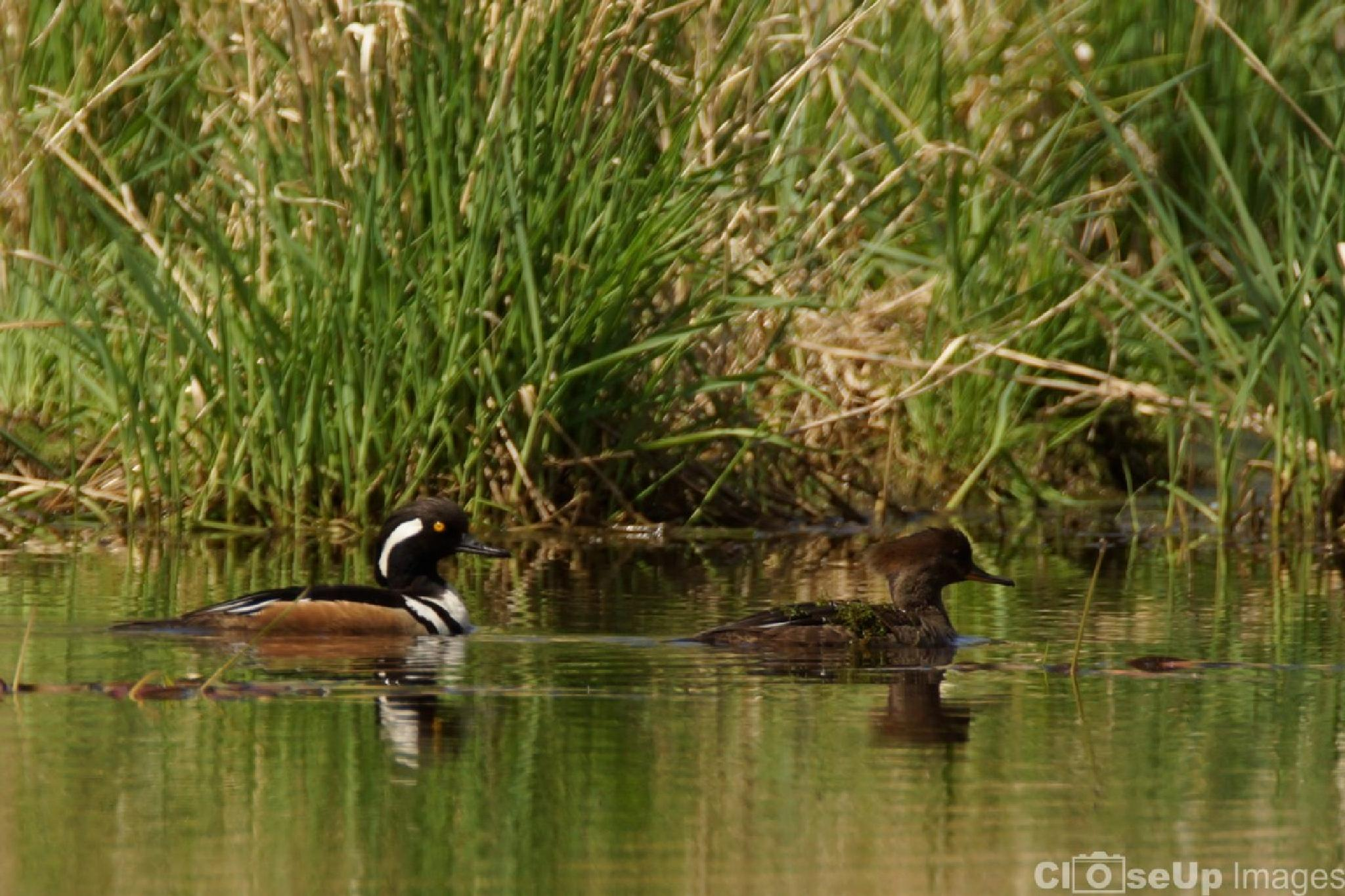Hooded Merganser by CloseUpImages