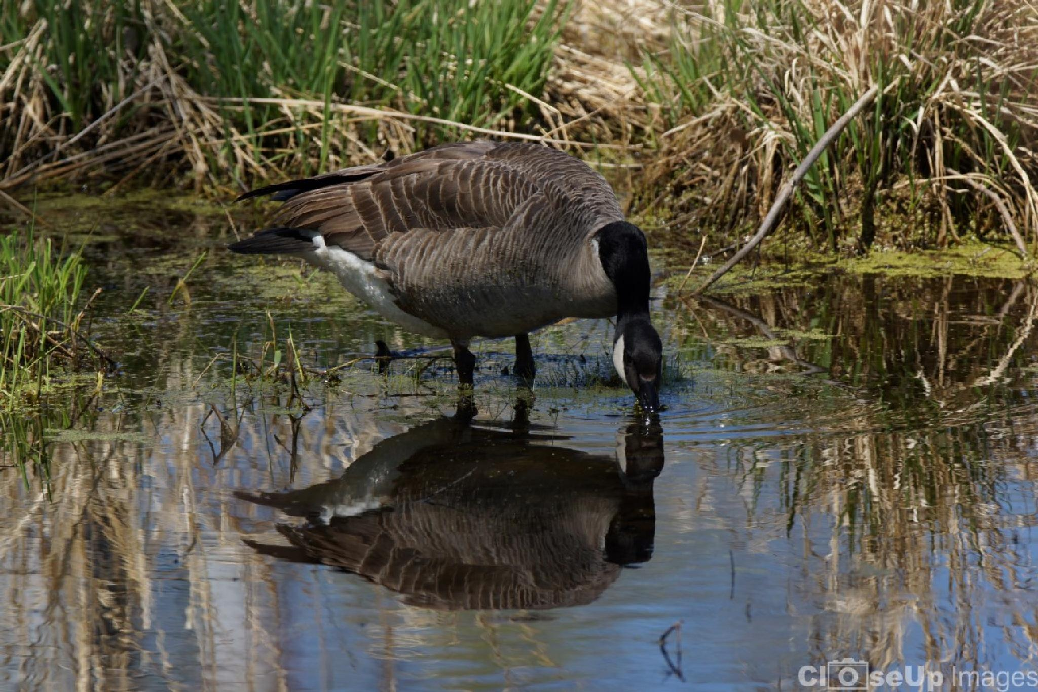 Reflections of a Goose by CloseUpImages