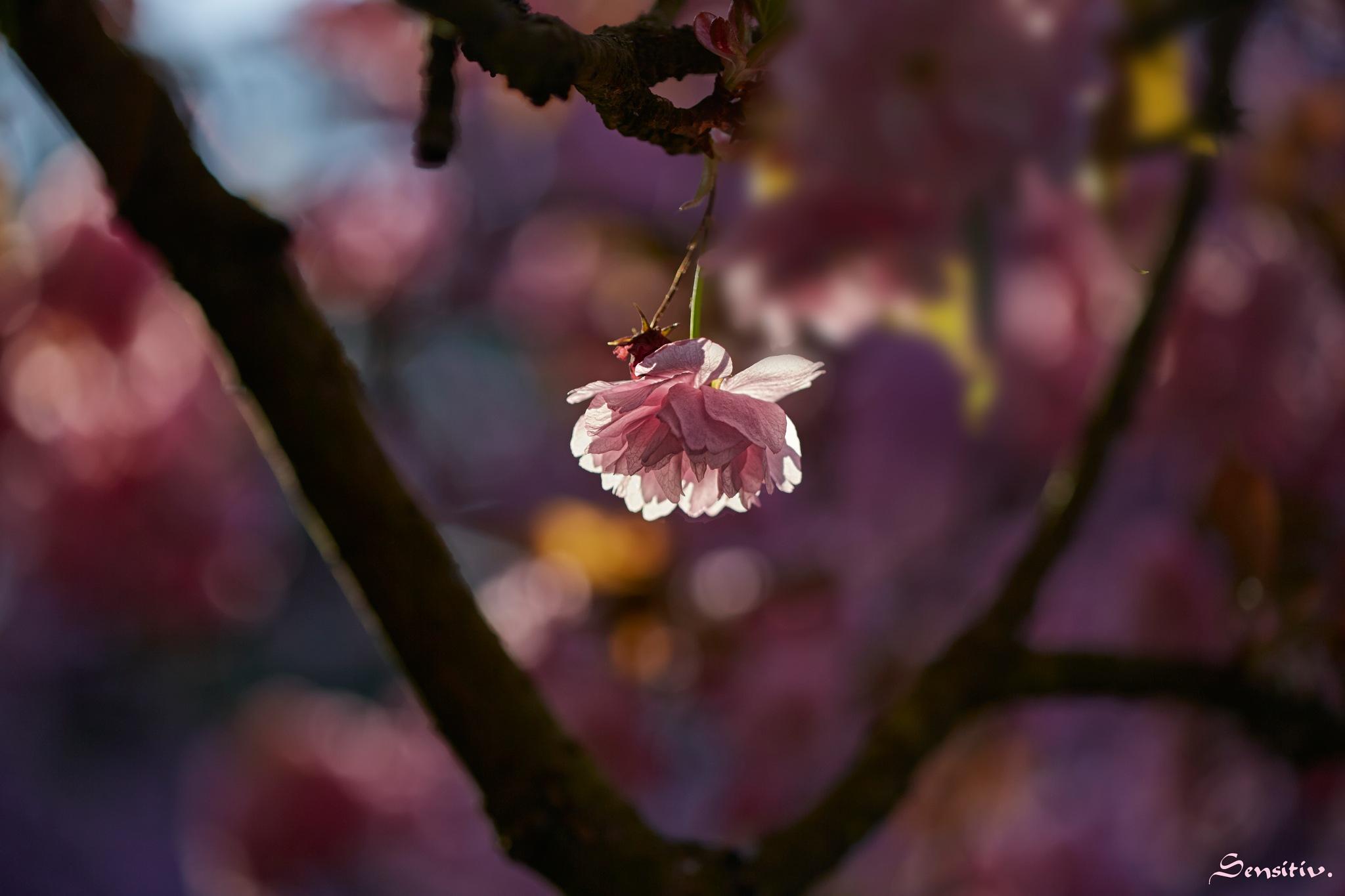 le rose vous va si bien ... by Camille Sensitiv