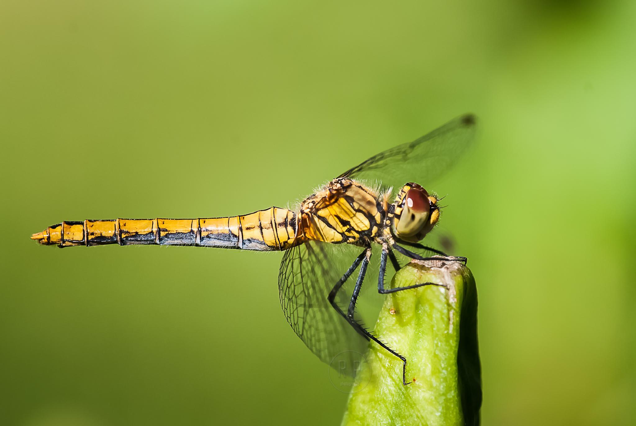 Photo in Macro #dragonfly #black-tailed skimmer #macro