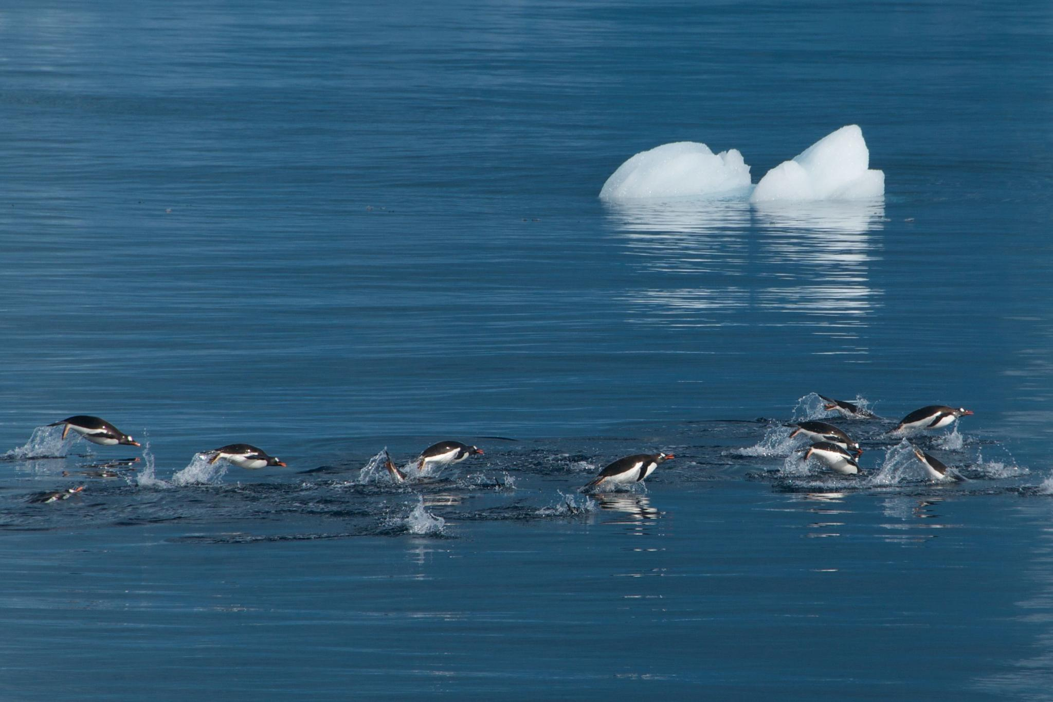 Jumping Penguin by eric.bettens