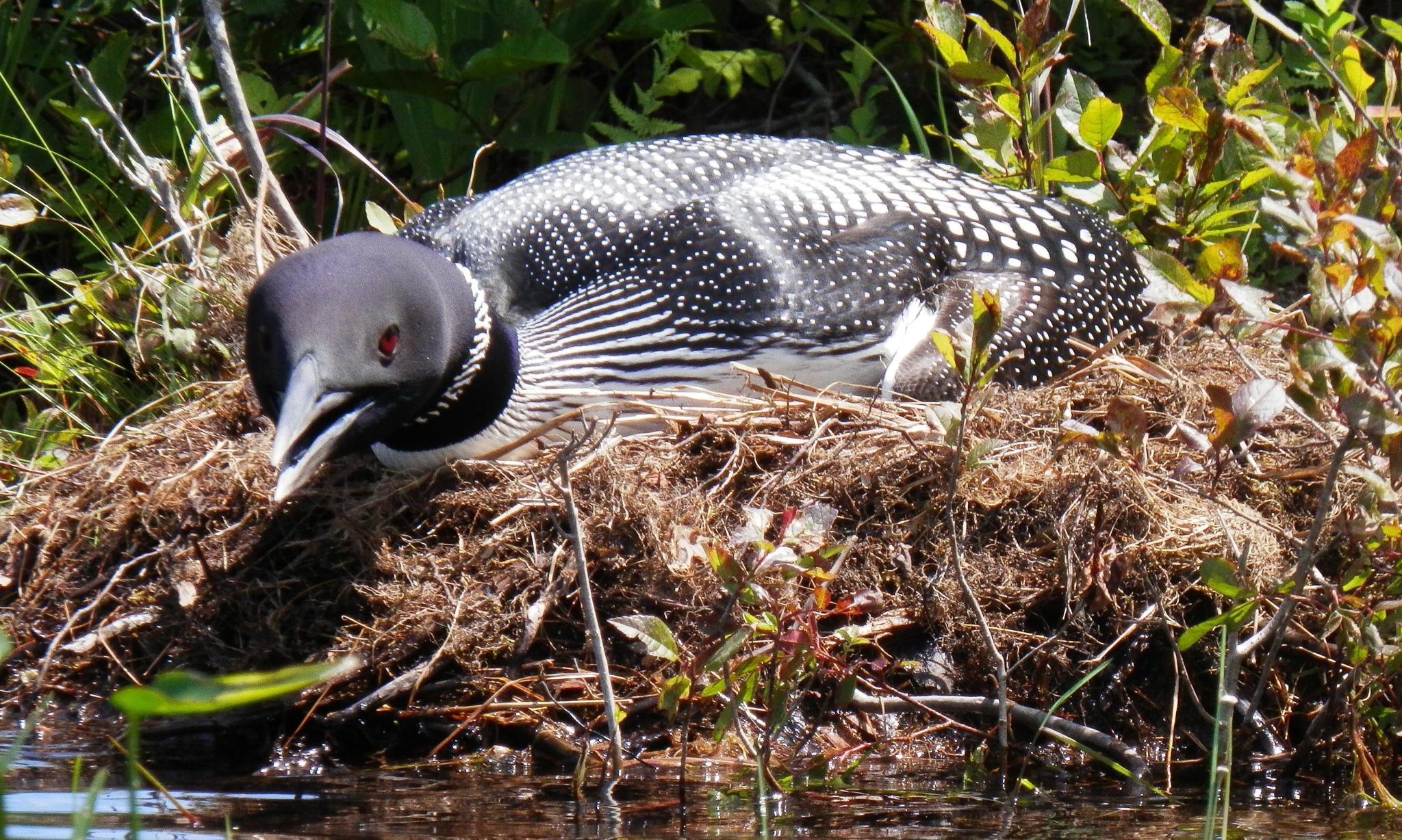 nesting loon by piersondonna