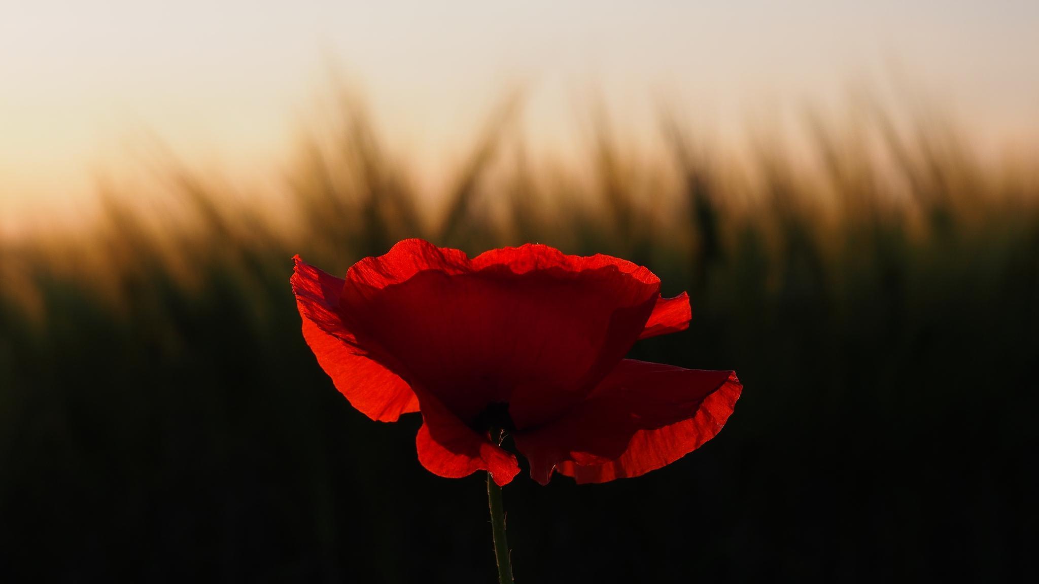 Red poppy by Miákits Csaba