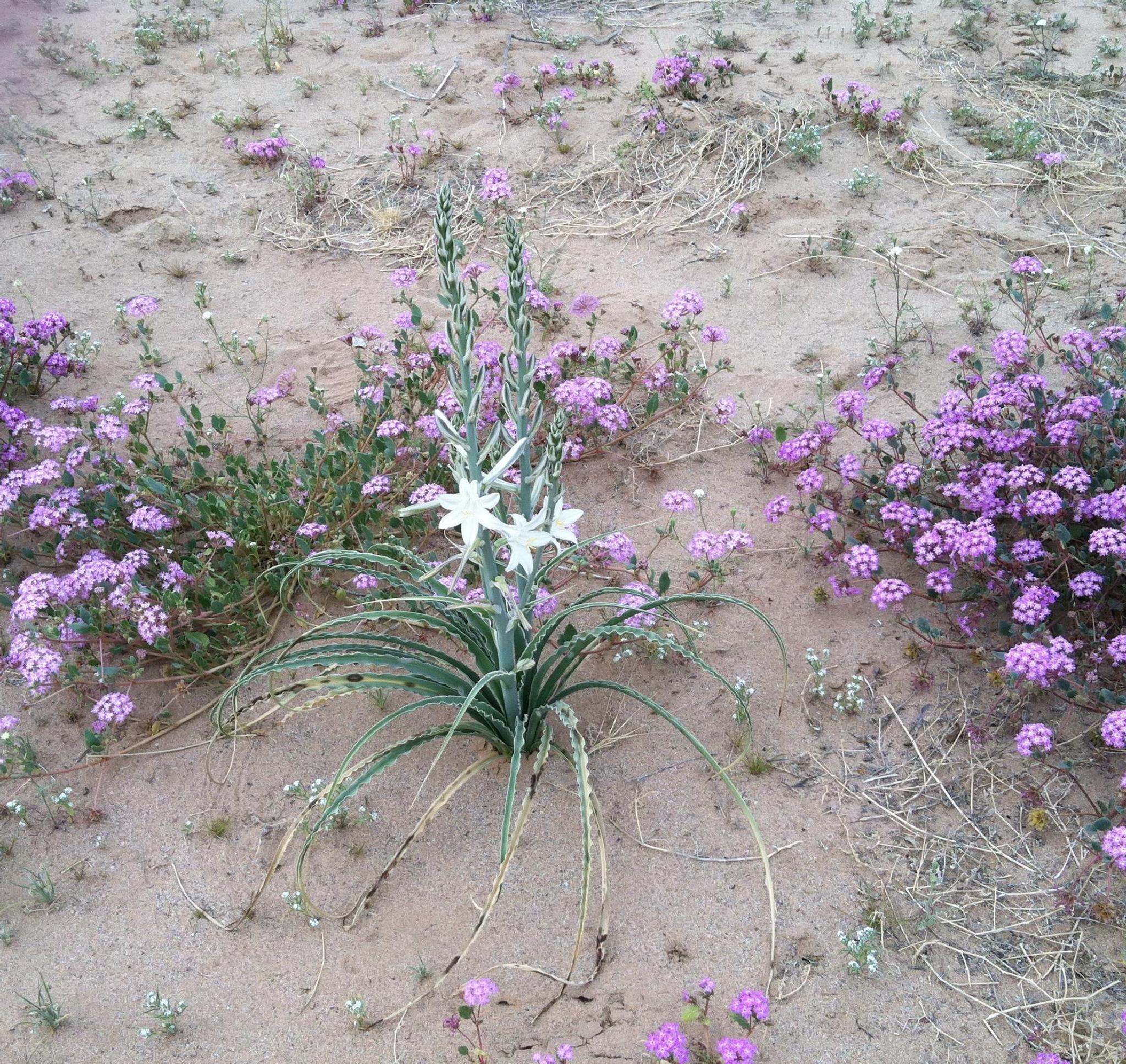 Ground flower In AZ. by Dee