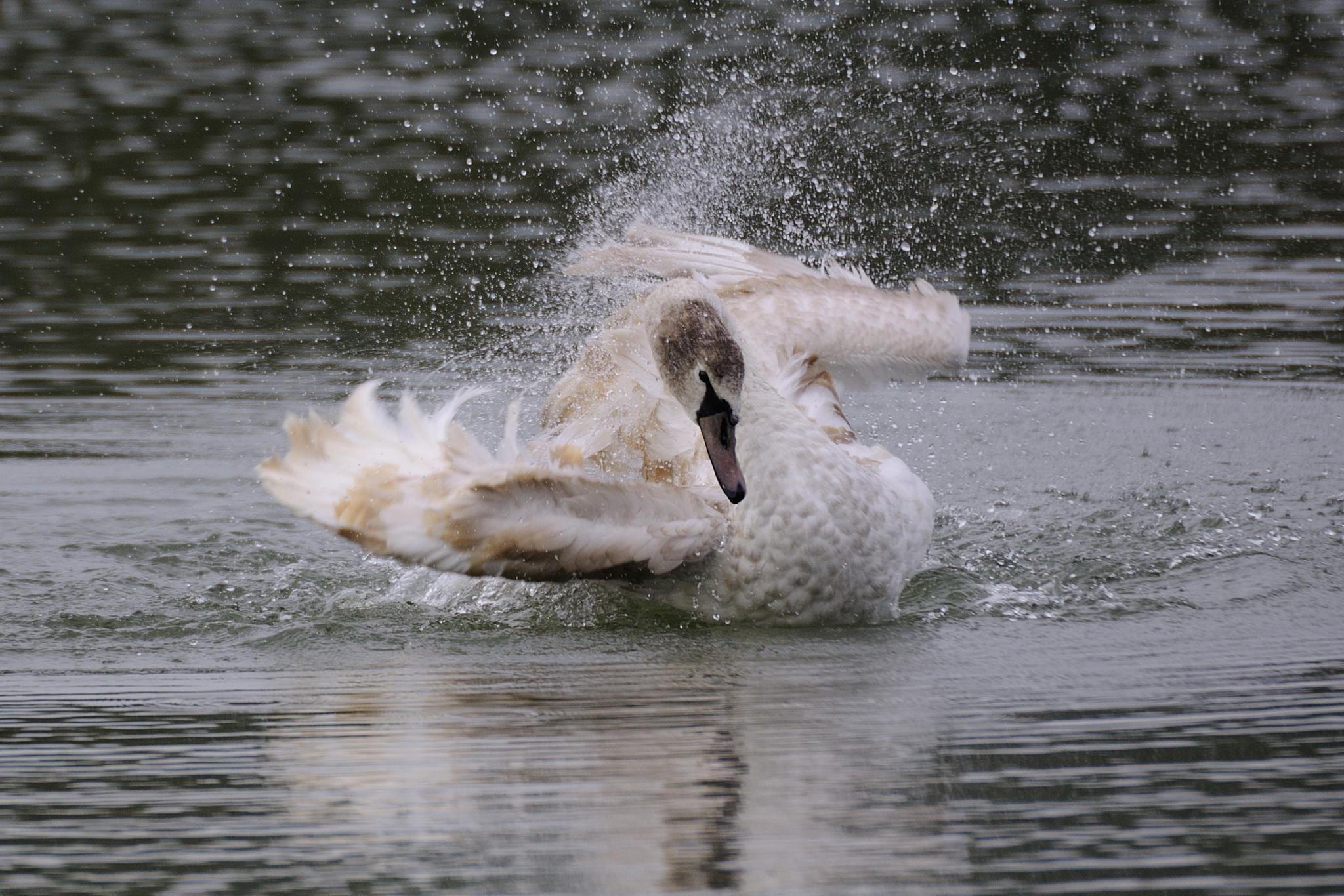 Swan by Kovacs Krisztian