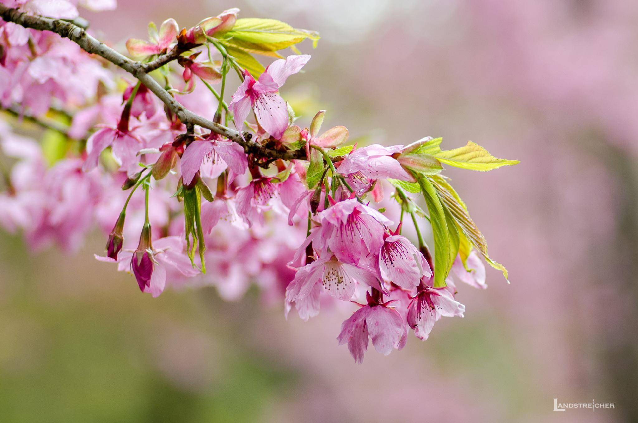 Cherry Blossom in Alishan, Taiwan by Landstreicher
