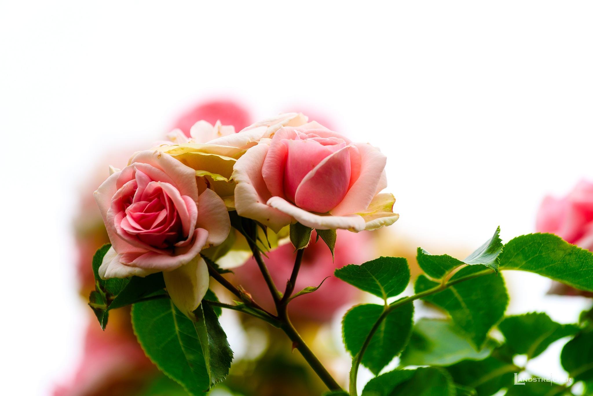 Dreamy Rose by Landstreicher