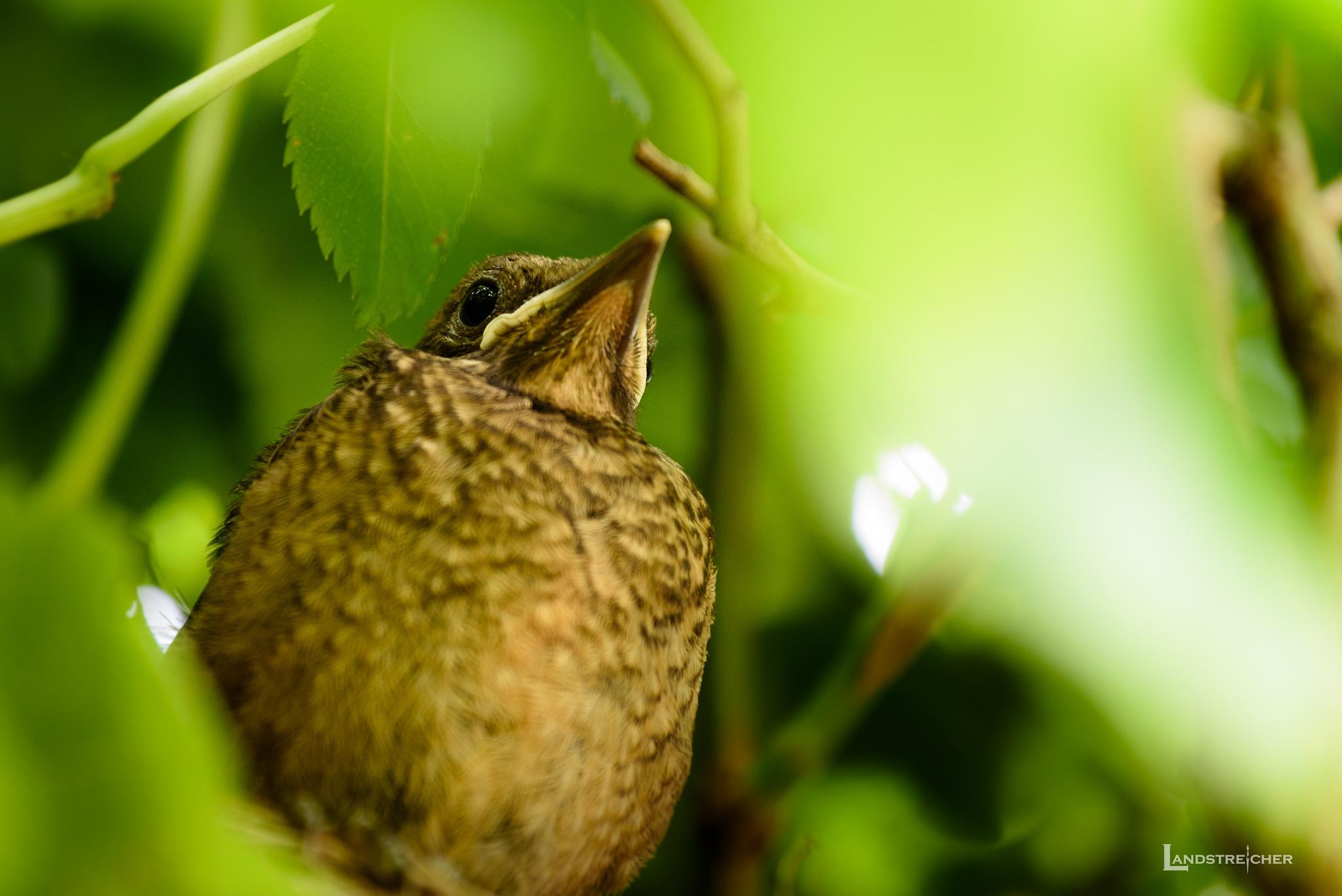 Blackbird Chick by Landstreicher