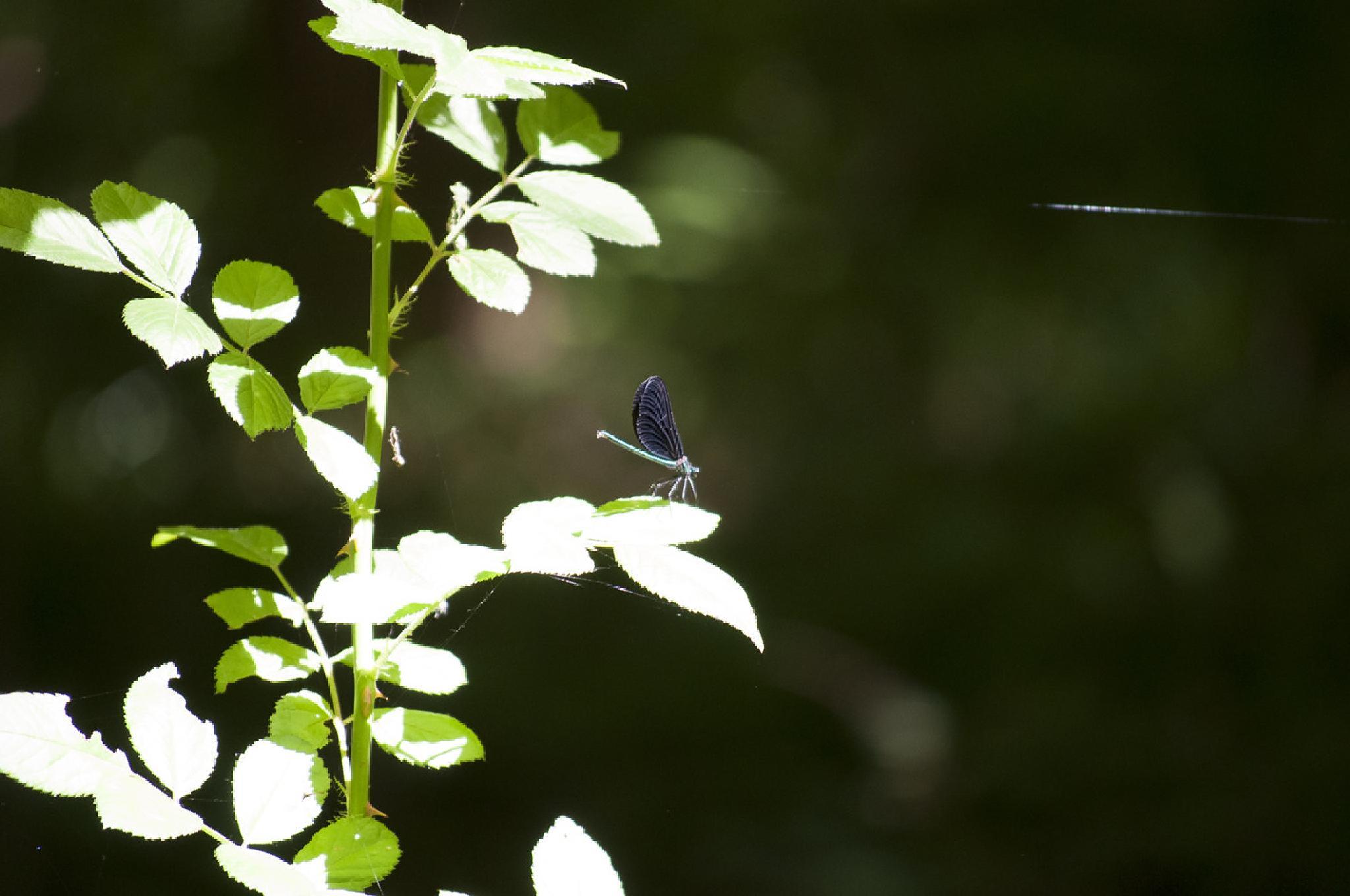 Dragonfly by austinjelcick