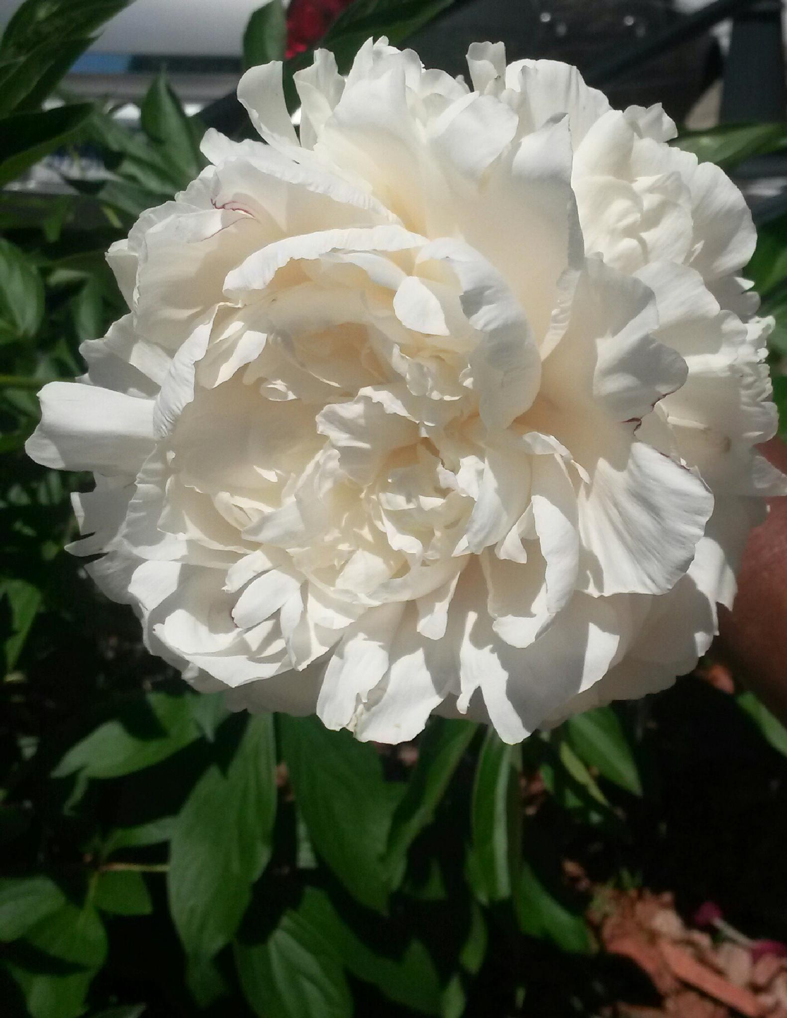 Peony by RobW '92