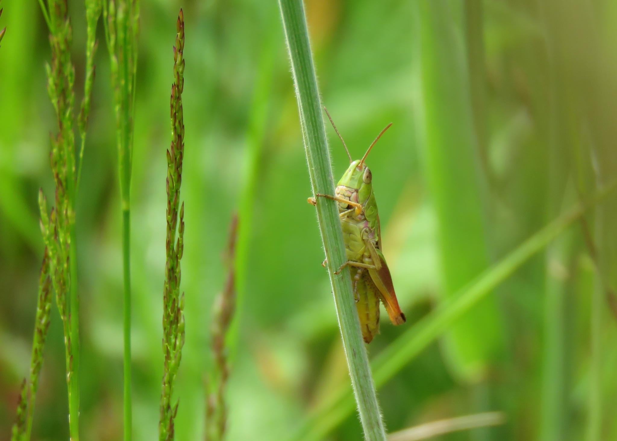 Mister grasshopper by ElseH