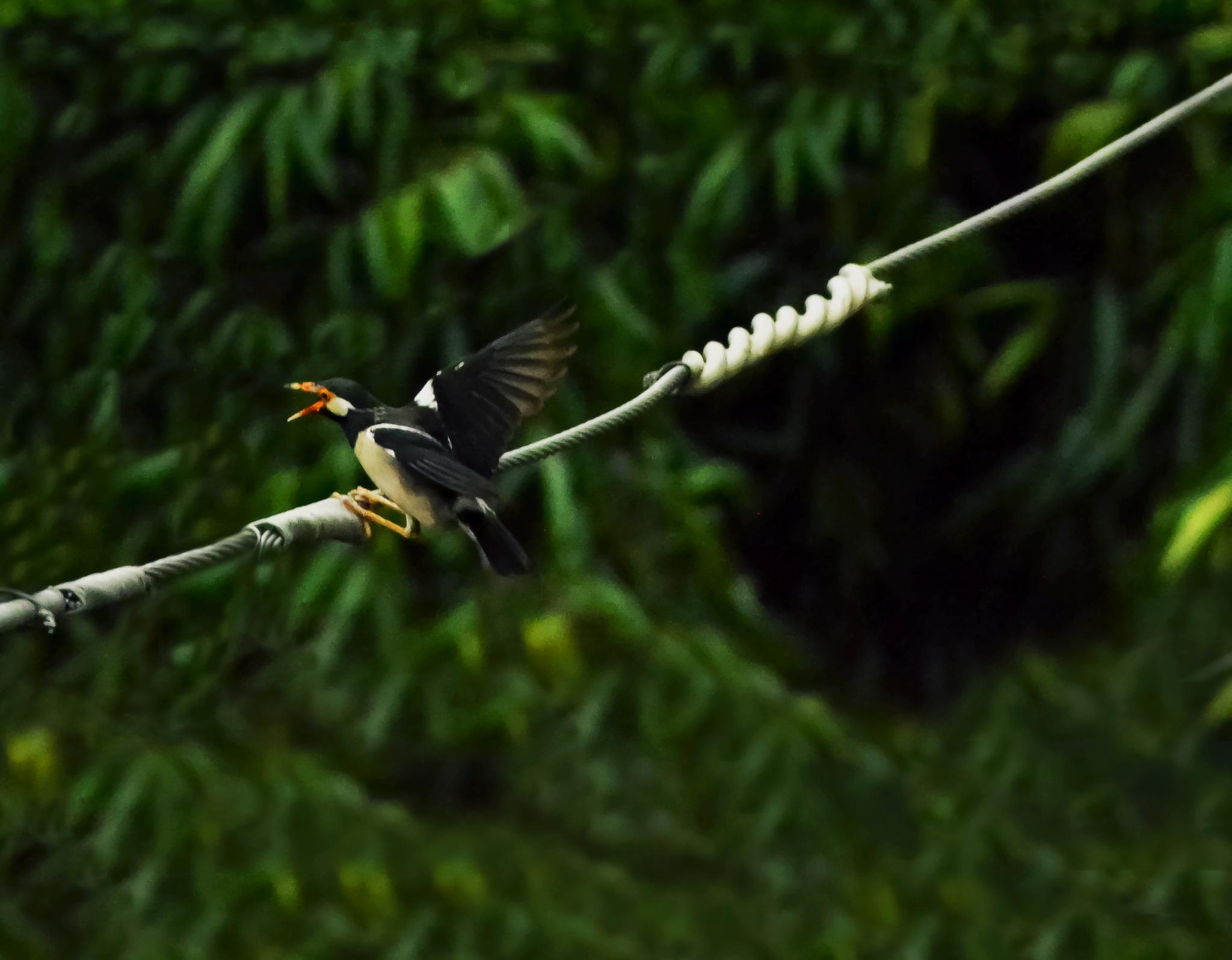 Jungle Myna by PD Photography
