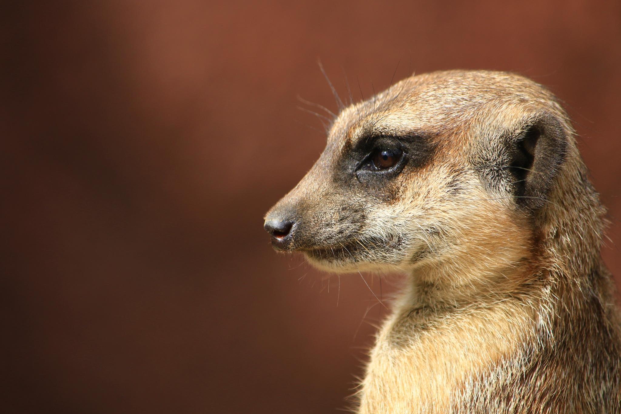 Meerkat view by Richard van oudheusden