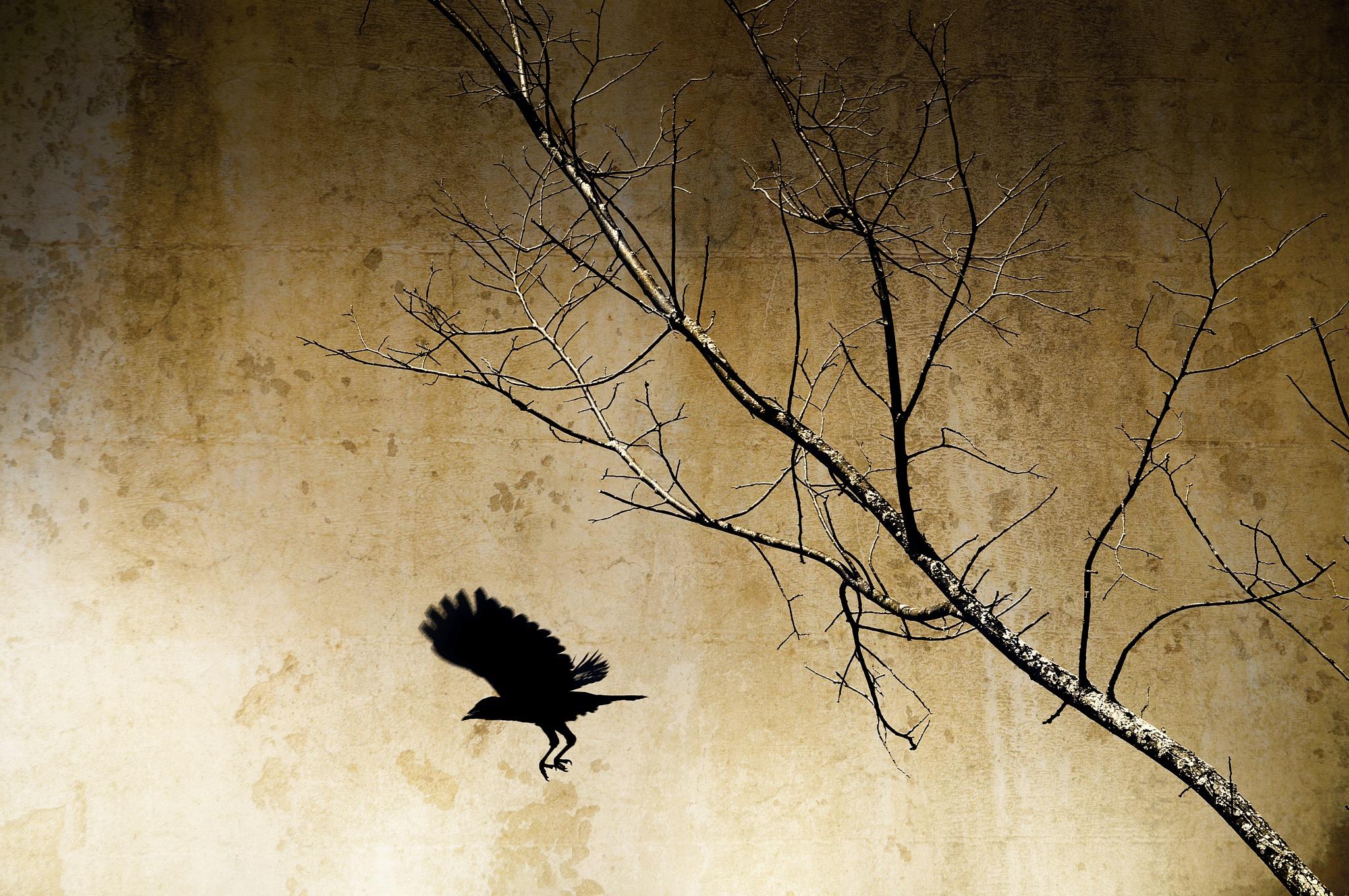 The crow by sylviecorriveau