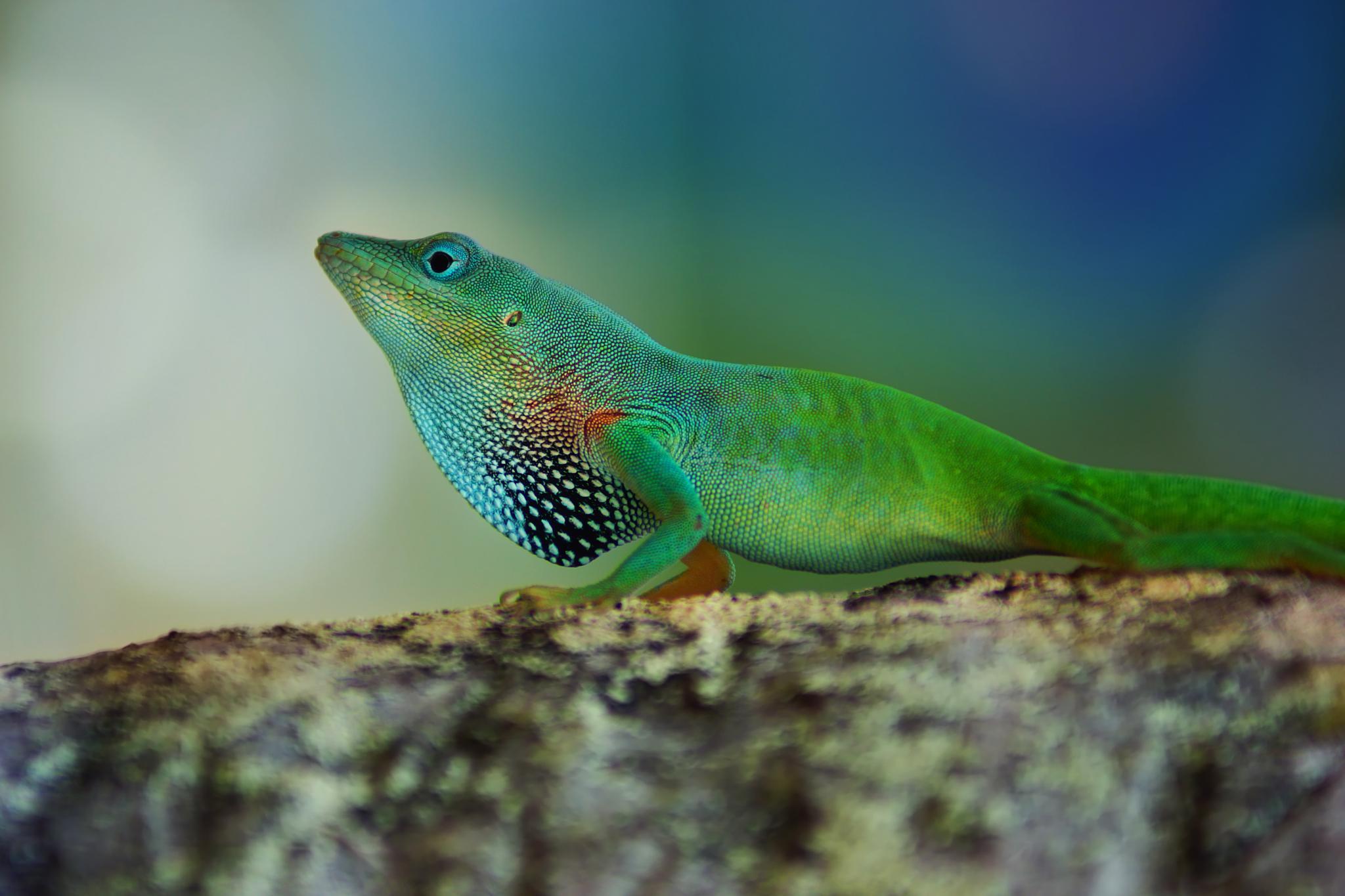Anolis Lizard by sylviecorriveau