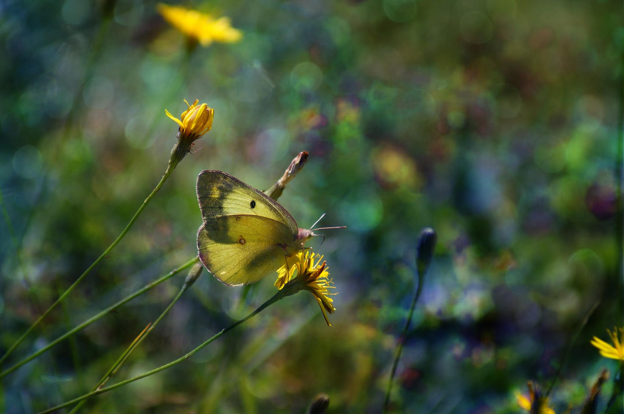 Yellow butterfly by sylviecorriveau