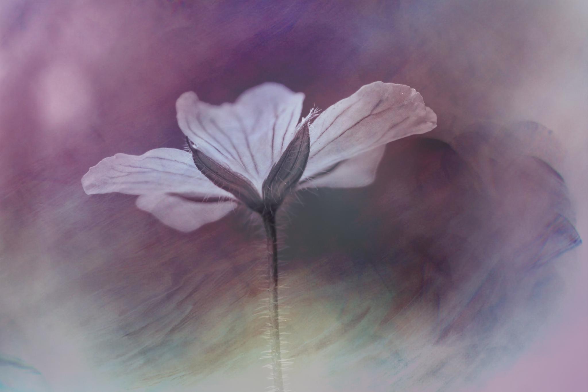 "Artistic macro Geranium ""Rozanne"" by sylviecorriveau"