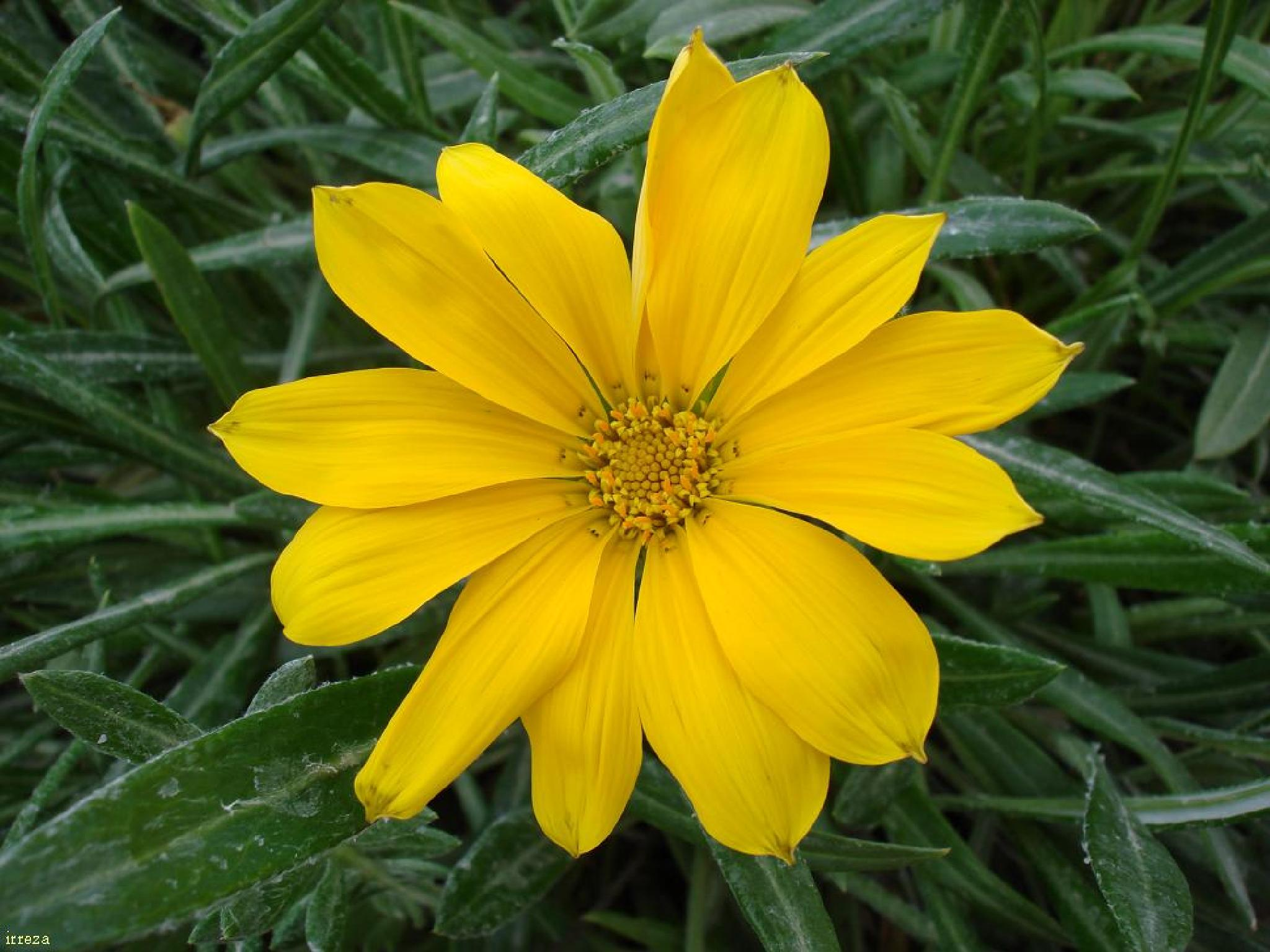 Canary yellow .. by Reza