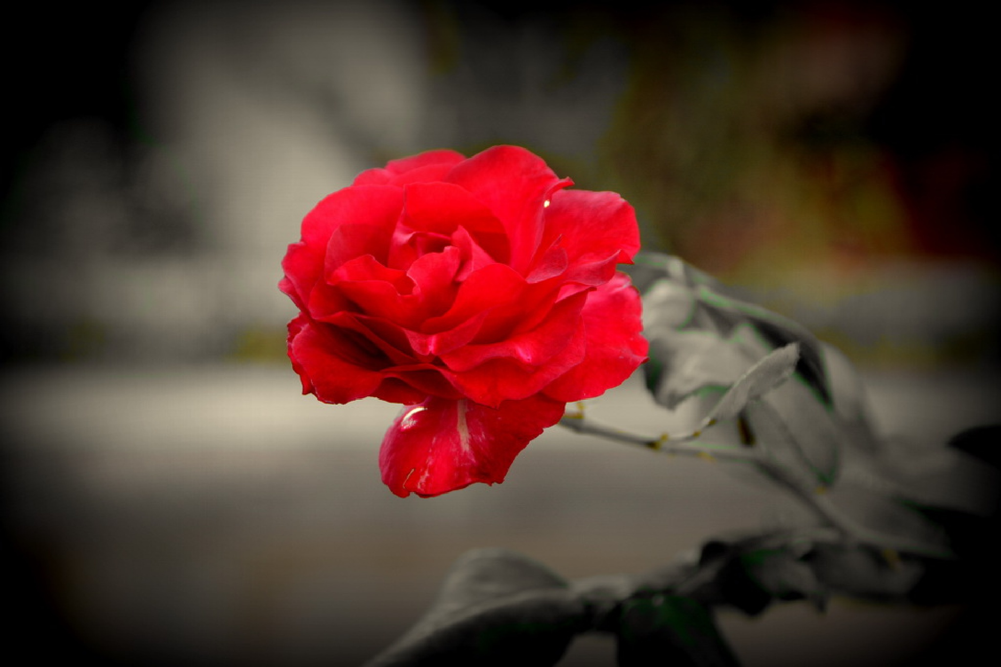 red roses by Andi kho