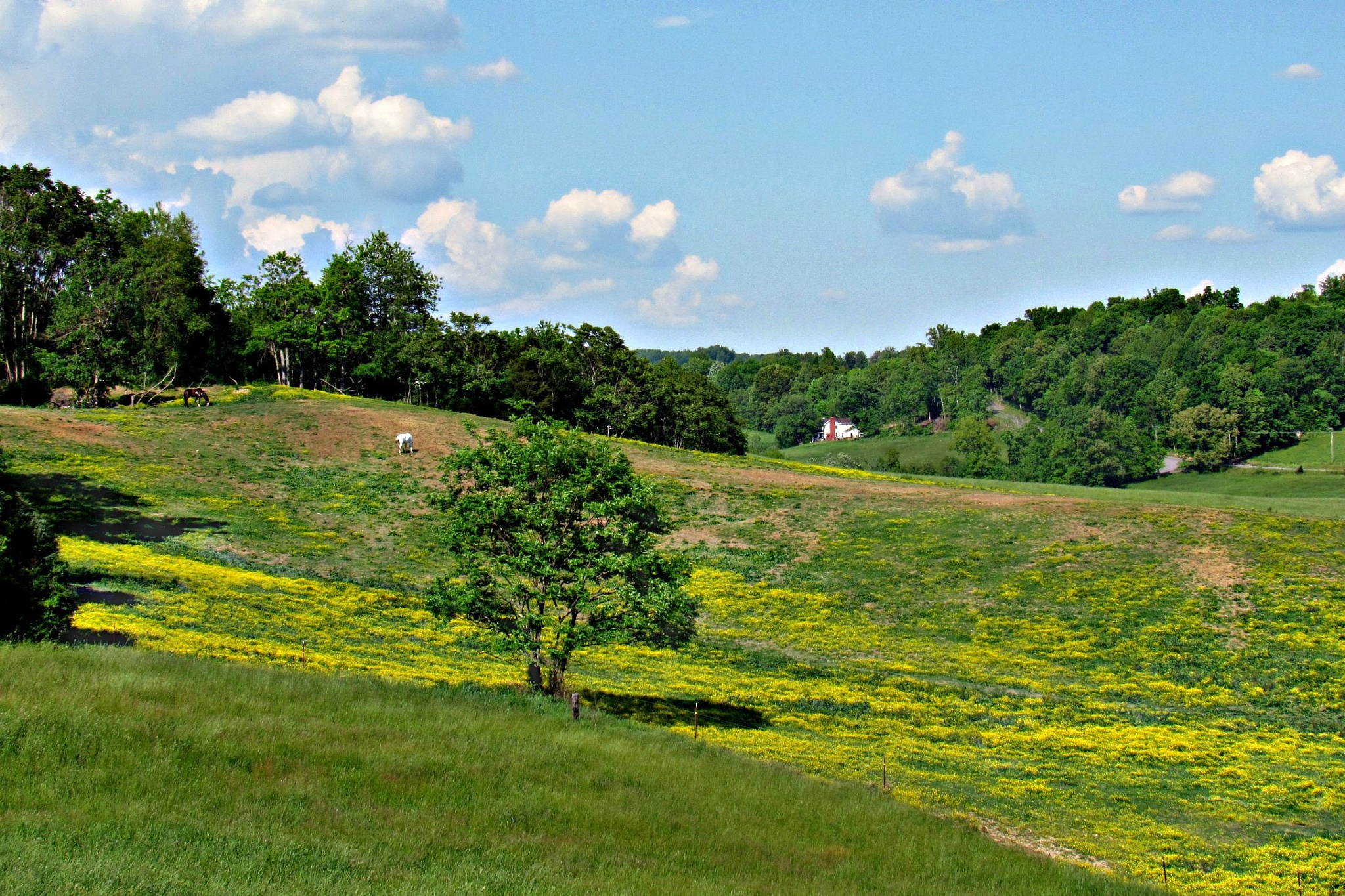 Field of Buttercups  by fergusoncindy33