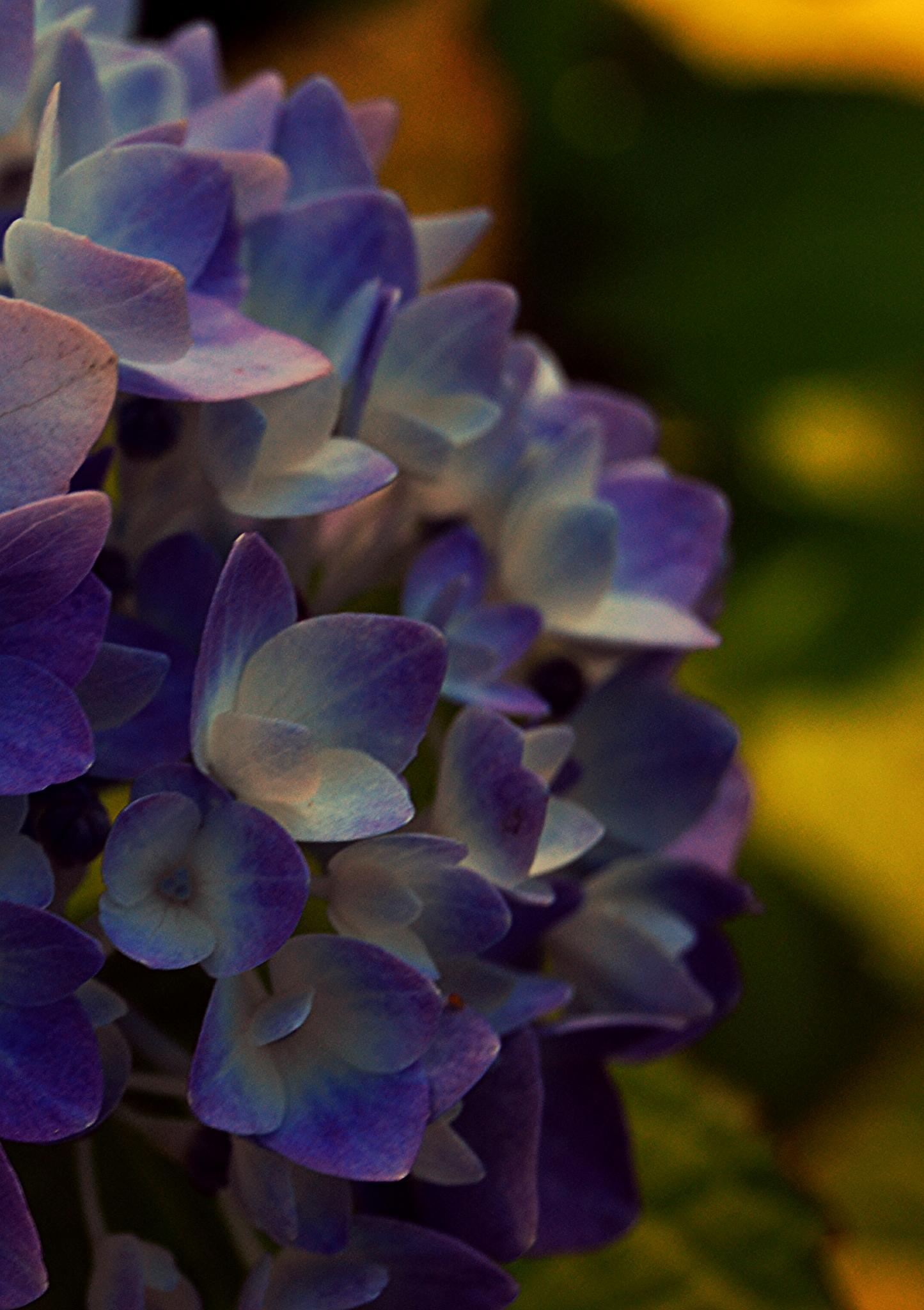 Sininen hortensia by Iris V