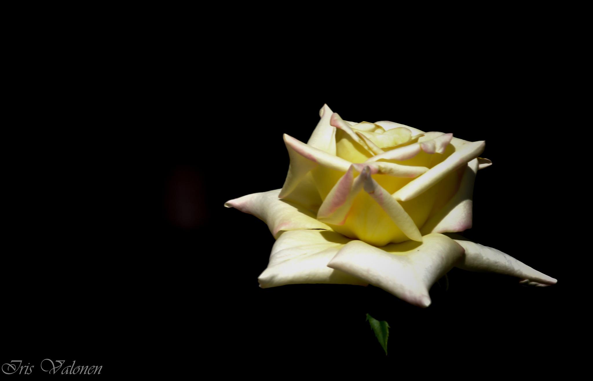 Keltainen ruusu by Iris V