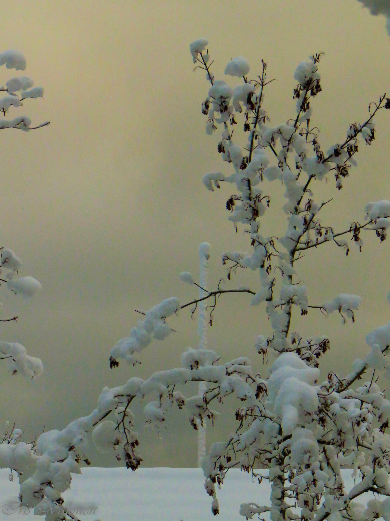 Snow by Iris V