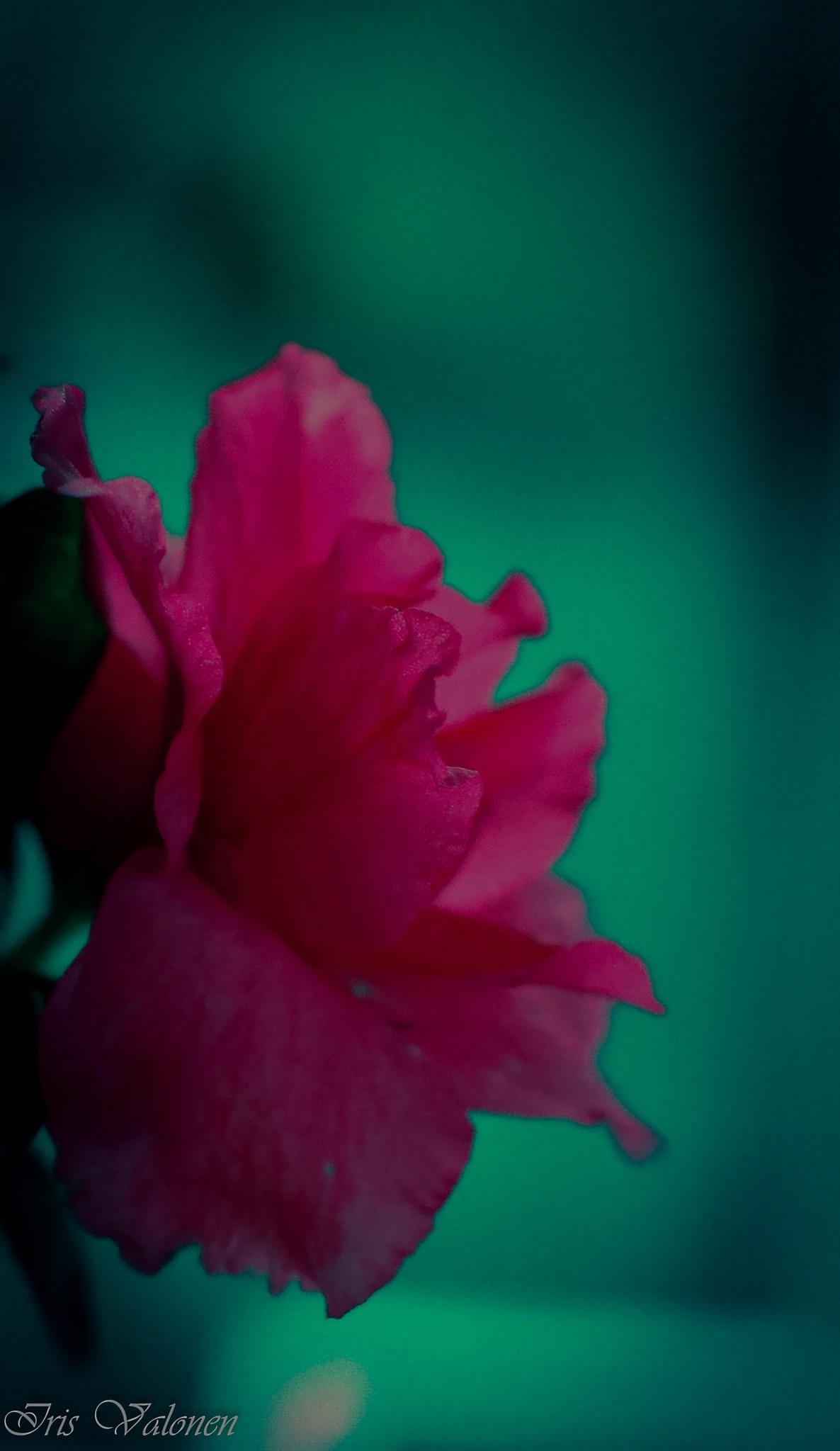 Kukka 1 by Iris V