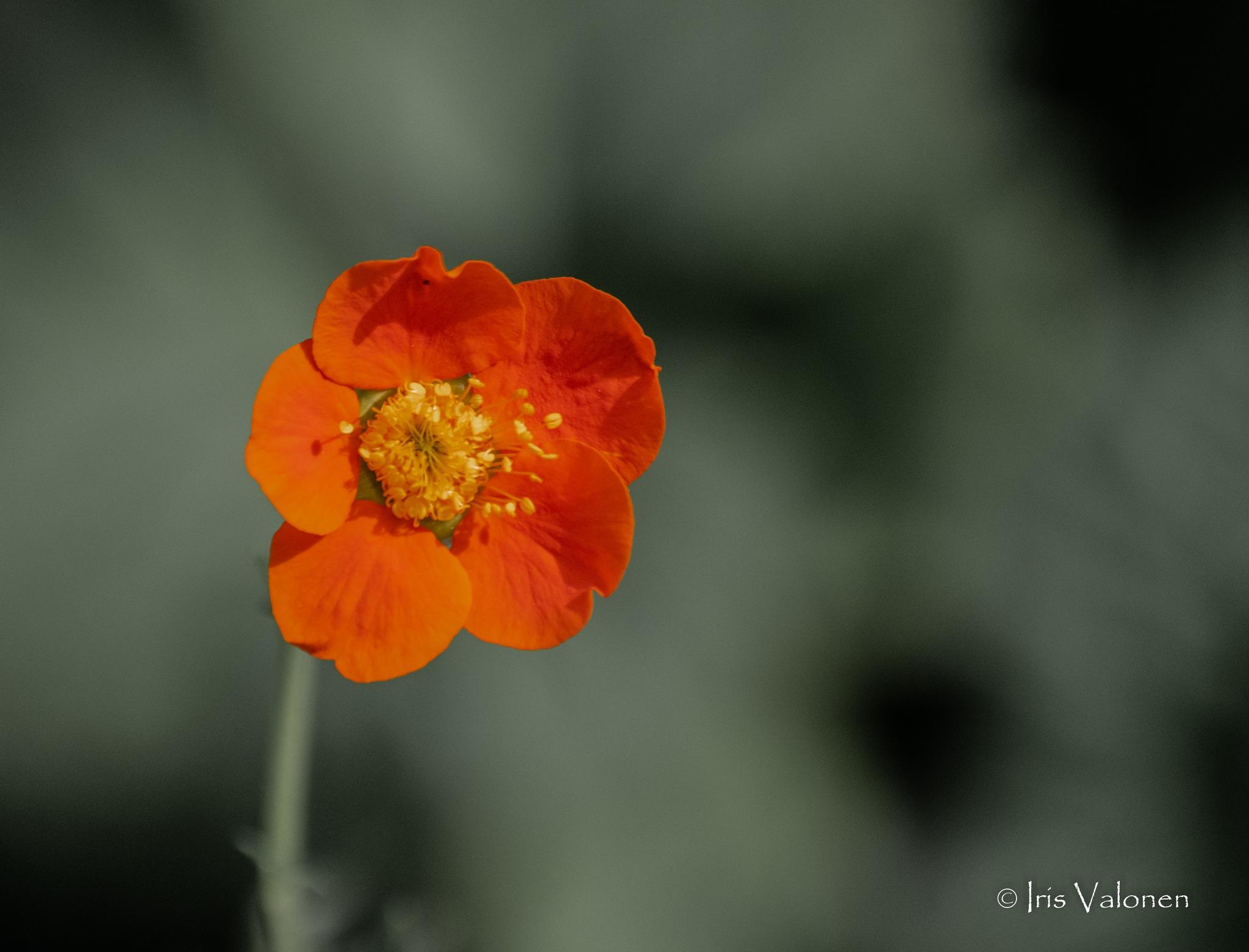 Oranssi kukka by Iris V
