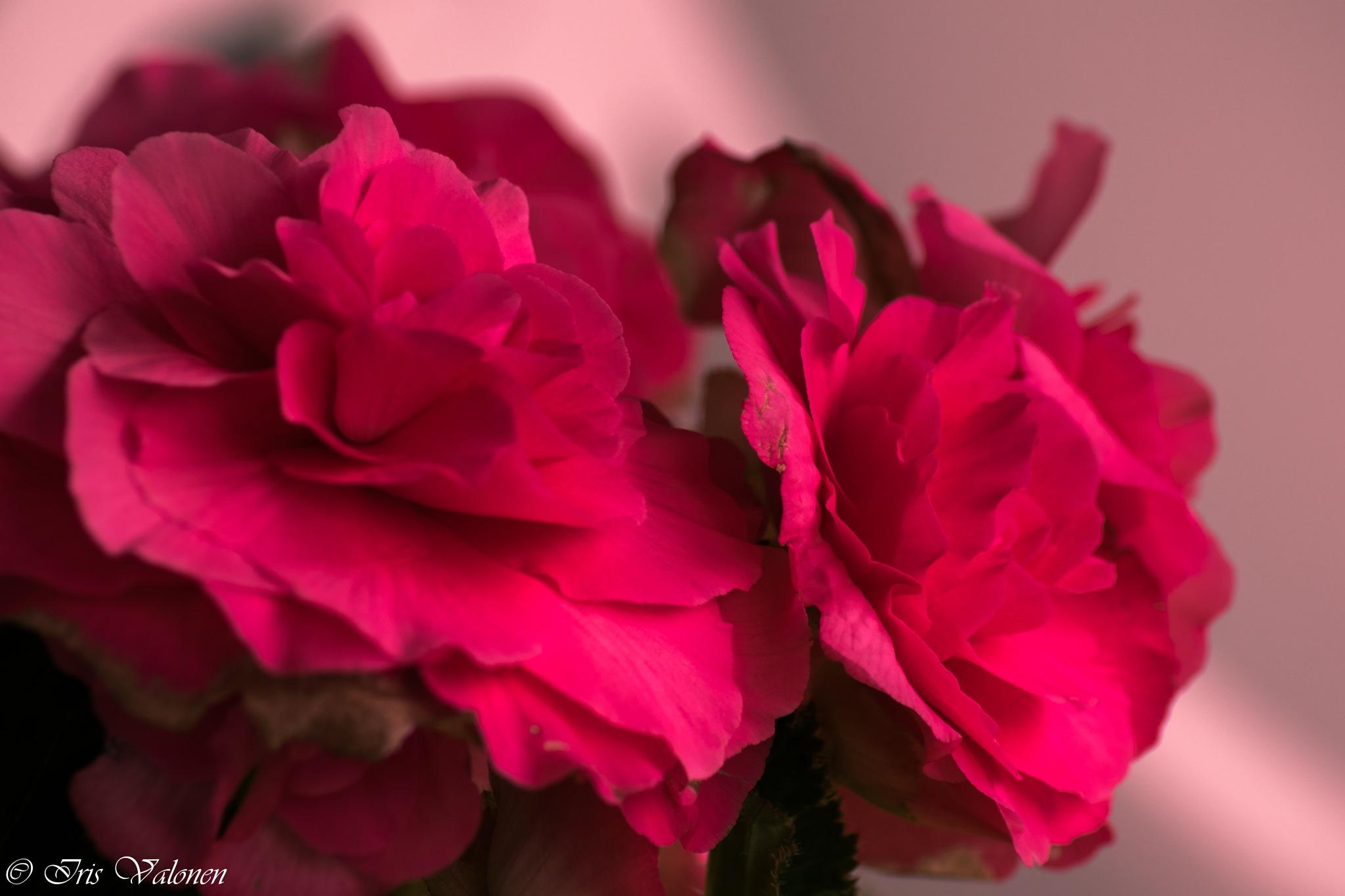Punaiset kukat by Iris V
