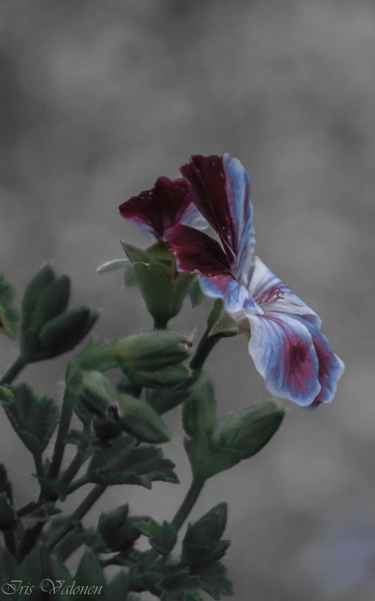 Pelargonian kukka 2 by Iris V