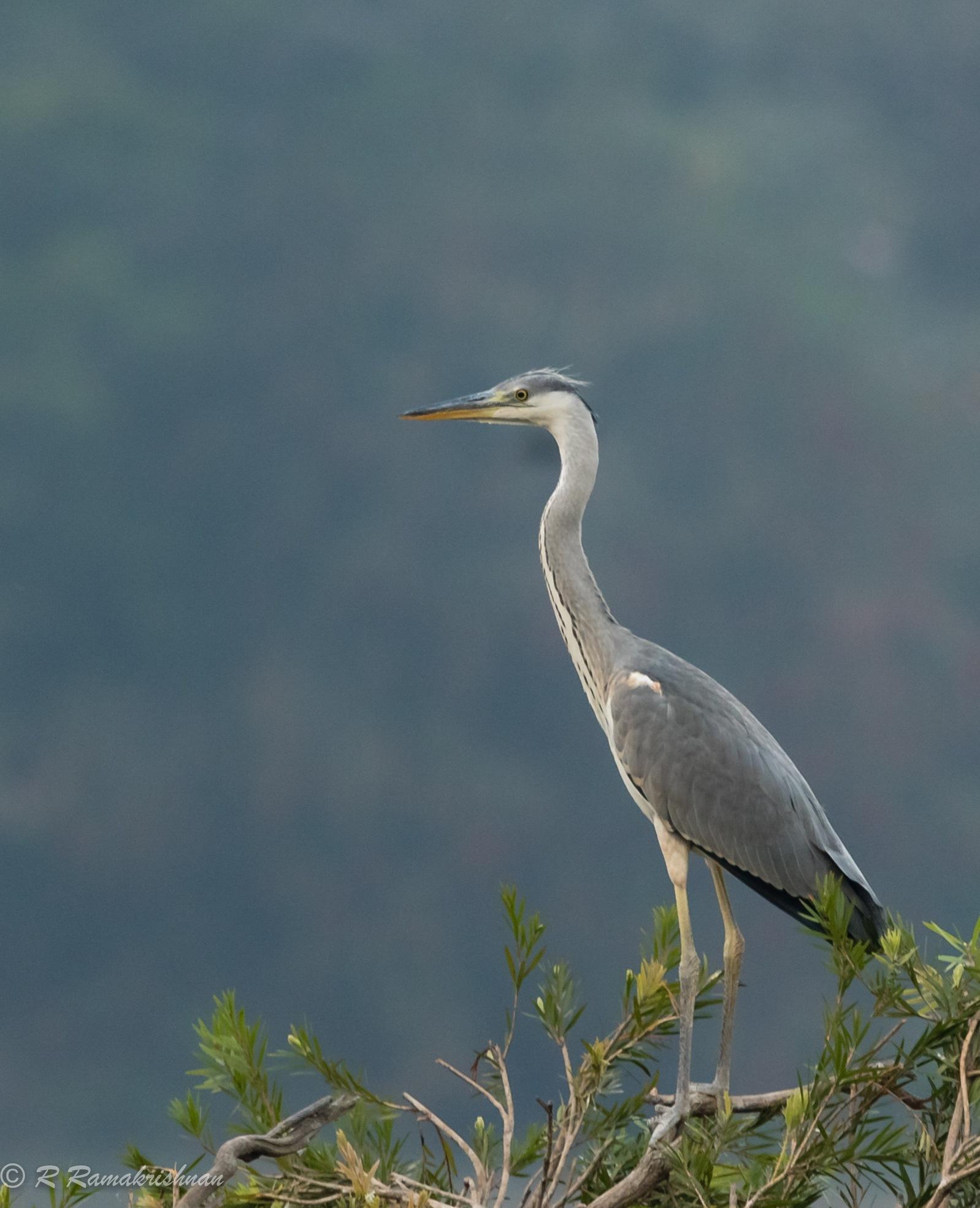 Grey Heron! by R Ramakrishnan