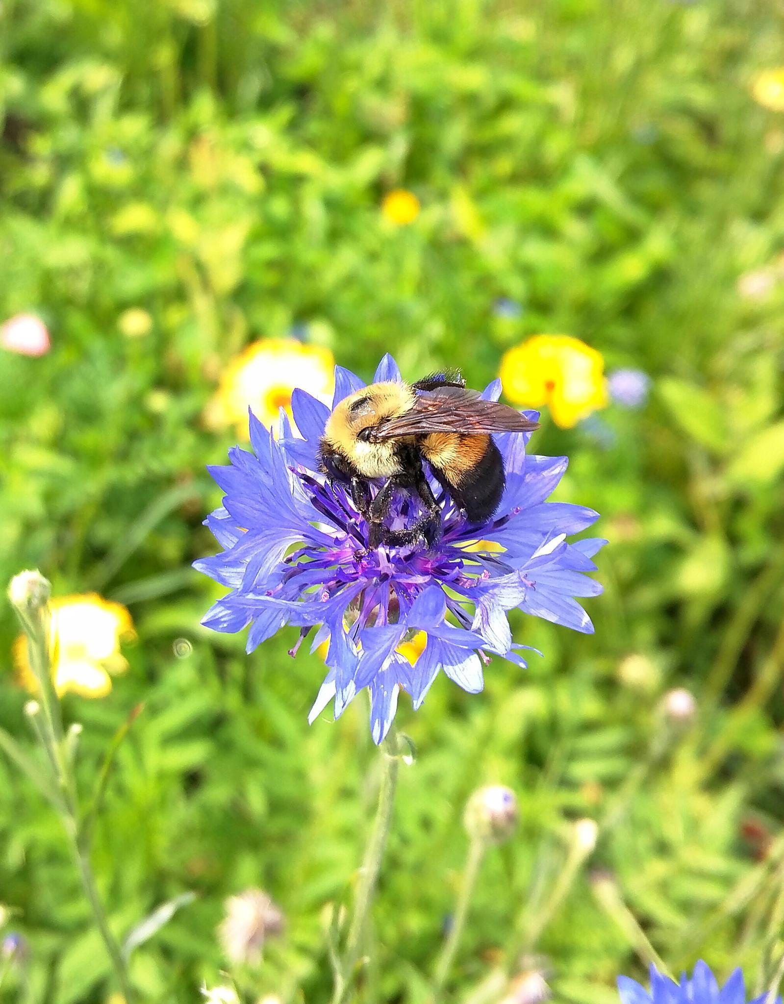 Todays Bumblebee by semeon22
