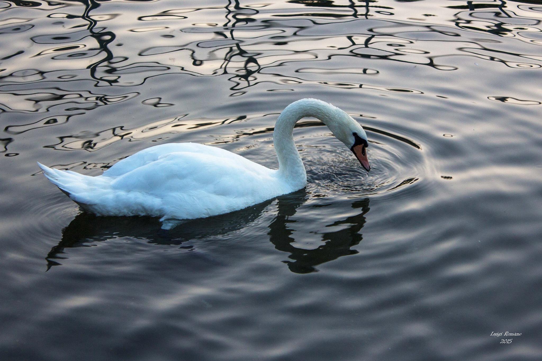 Swan in Lake Como by Luigi Romano