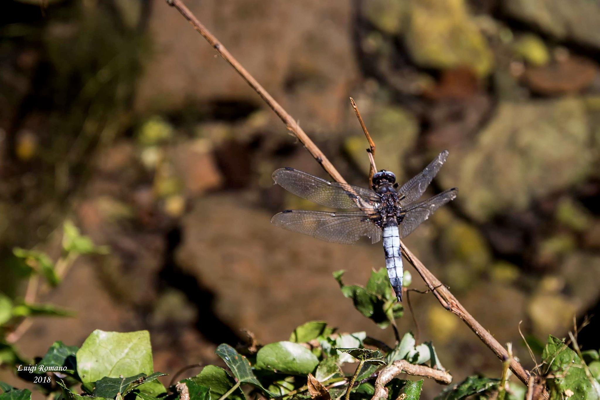 Dragonfly by Luigi Romano