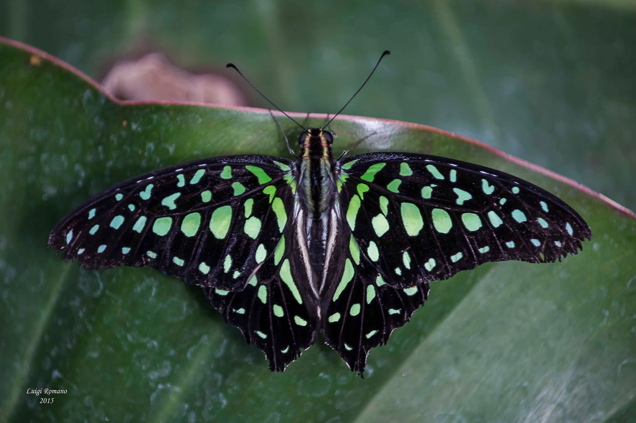 Butterfly by Luigi Romano