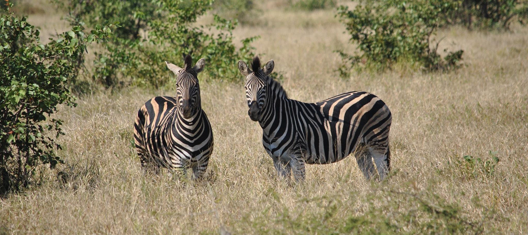 Zebra by godfreyanker