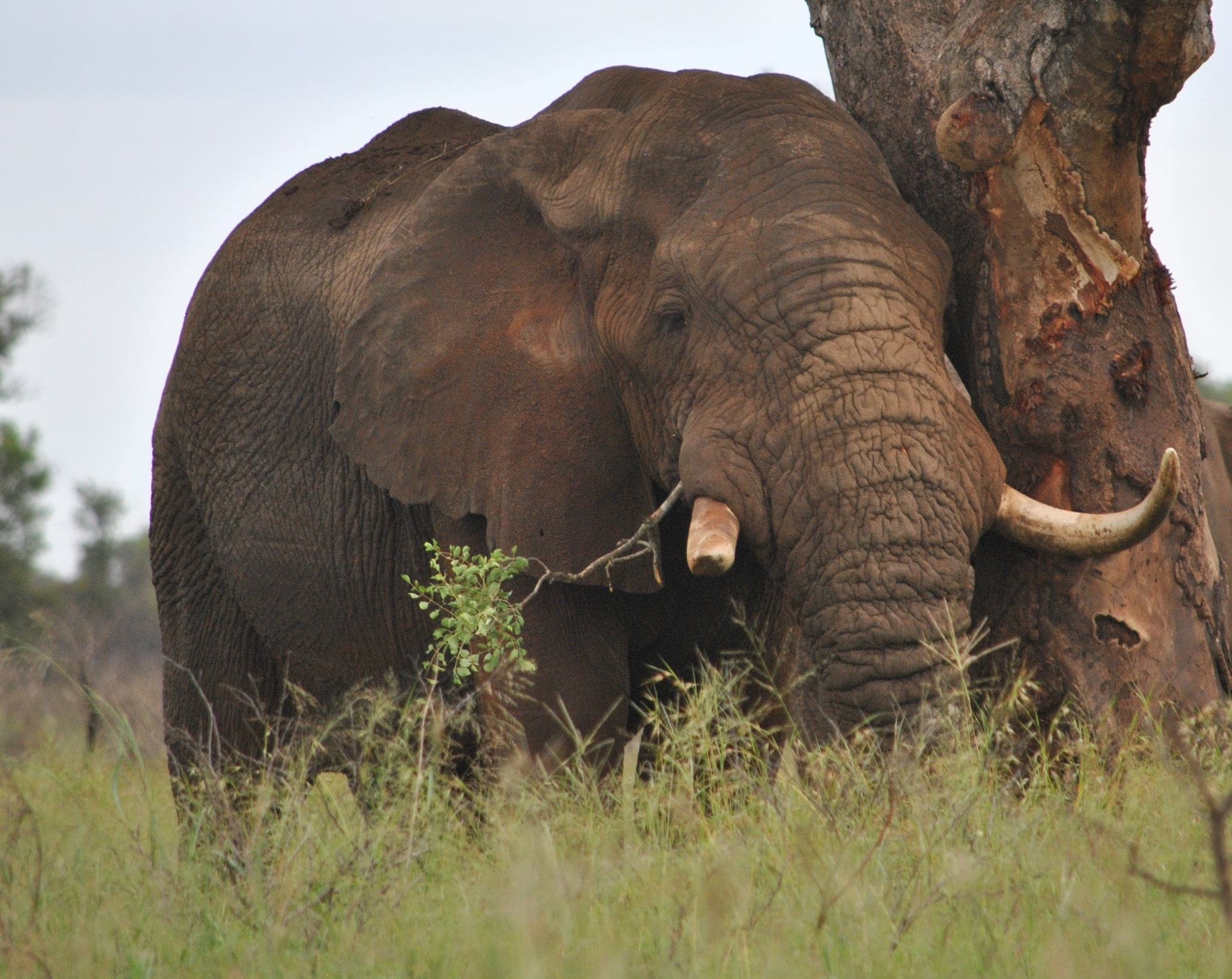 Elephant Bull by godfreyanker