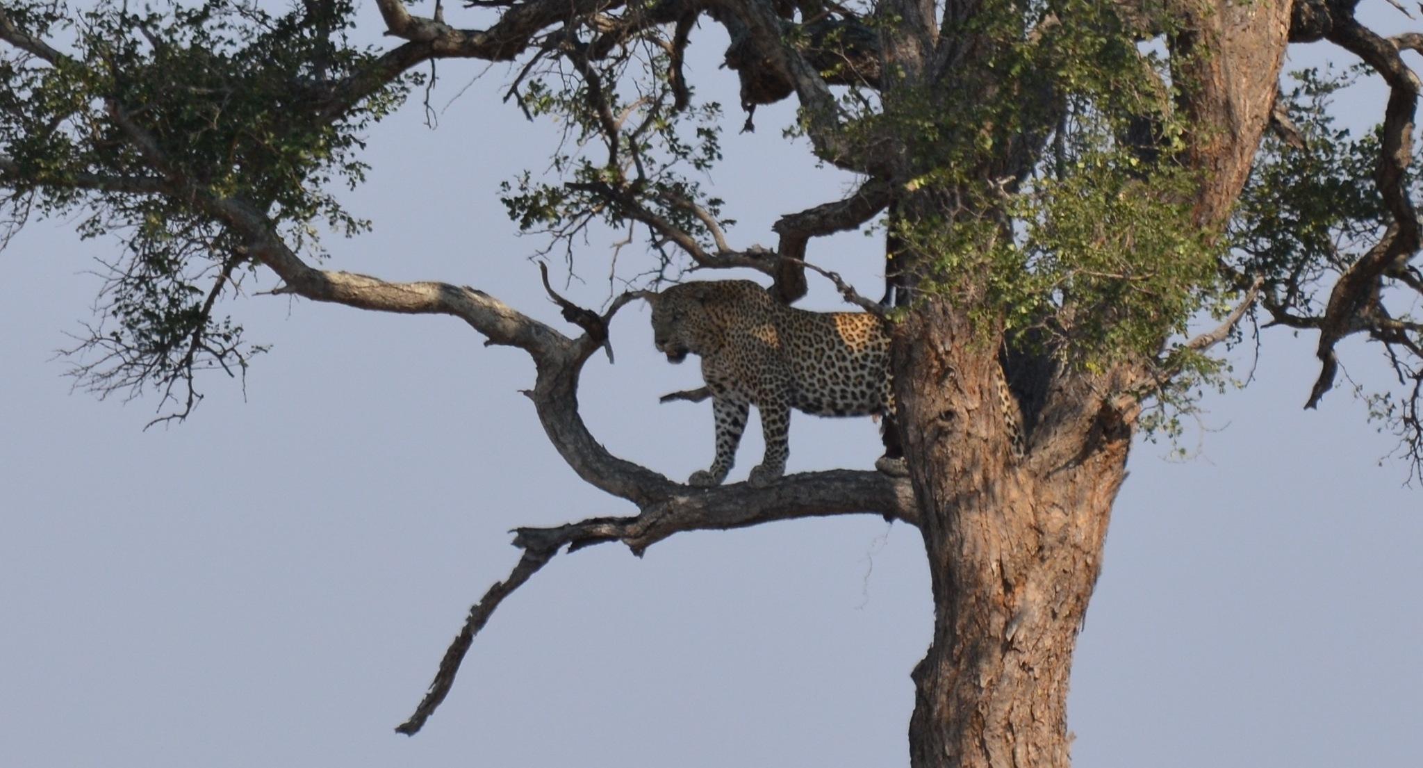 Leopard by godfreyanker