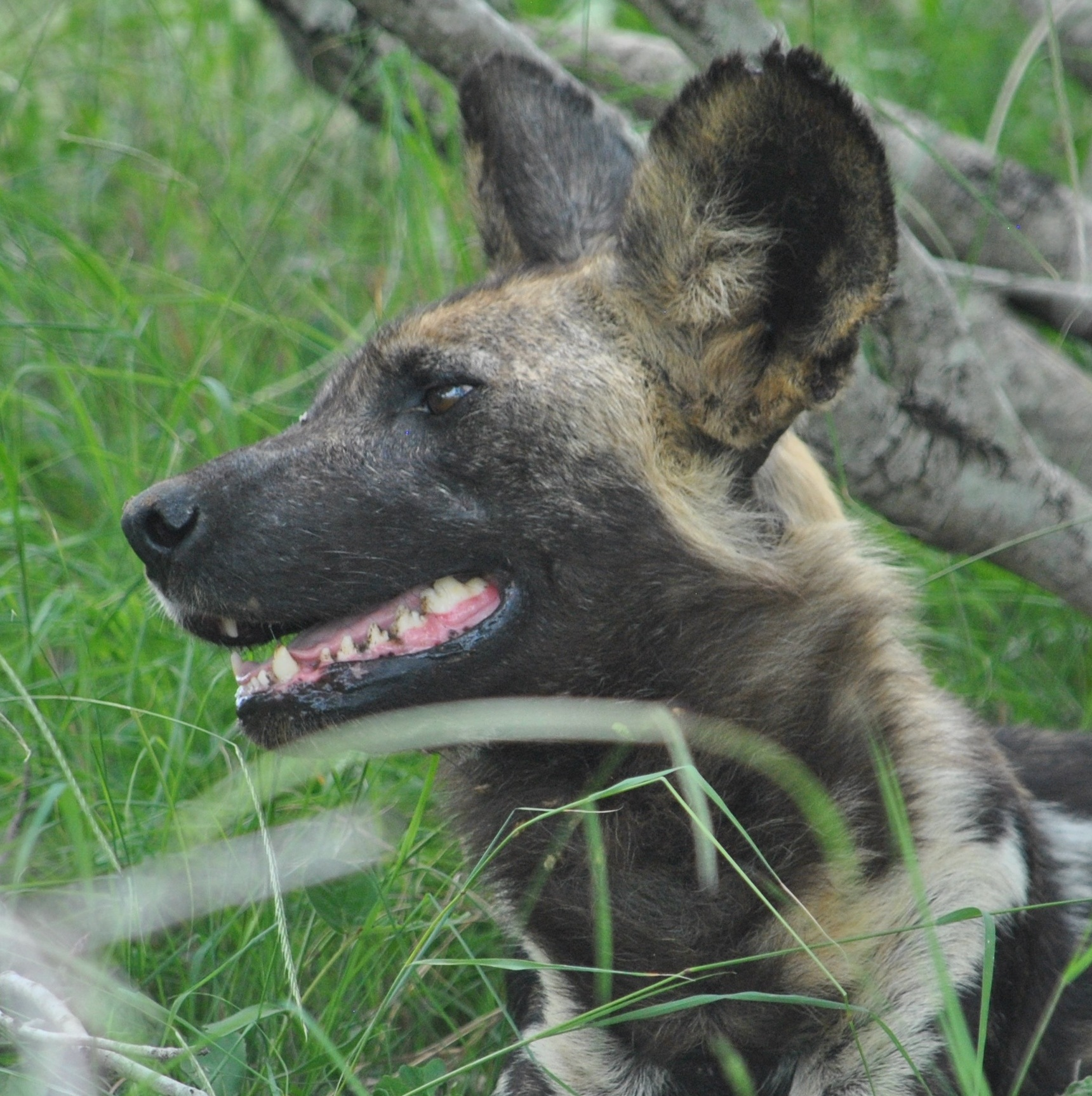 Africa Wild-dog by godfreyanker