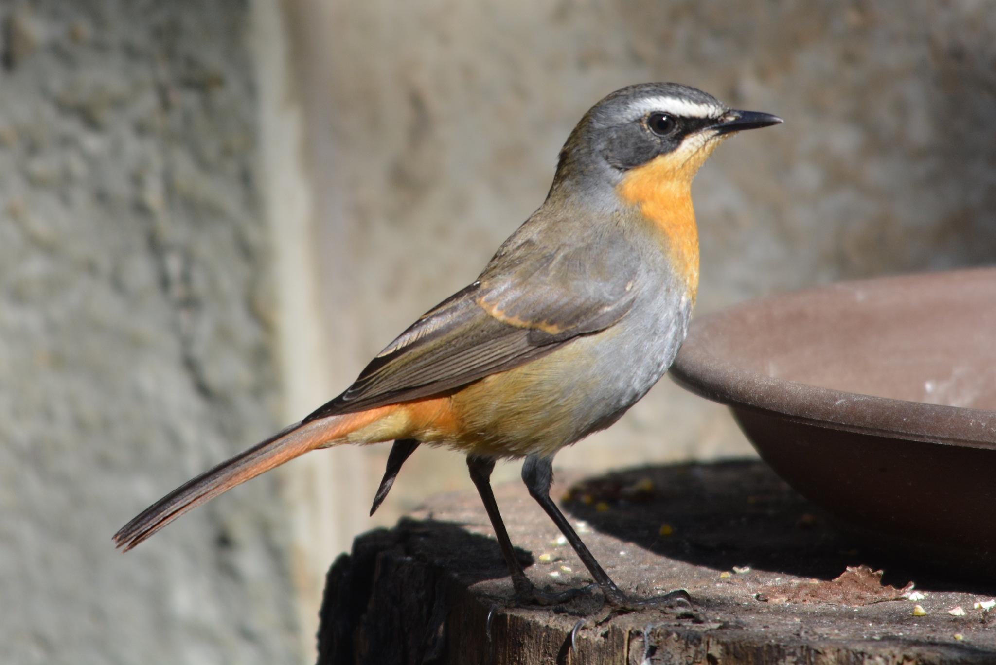 Cape Robin-Chat by godfreyanker