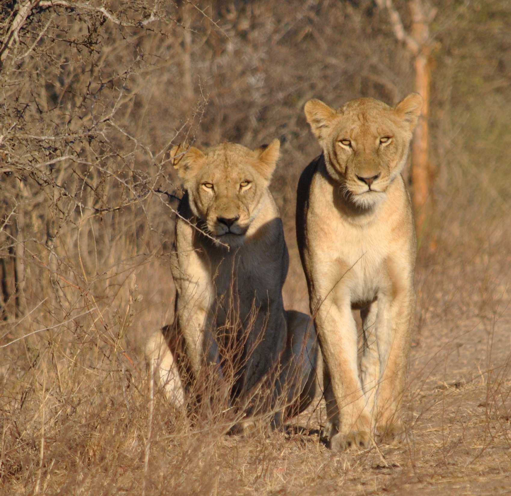 Lionesses by godfreyanker