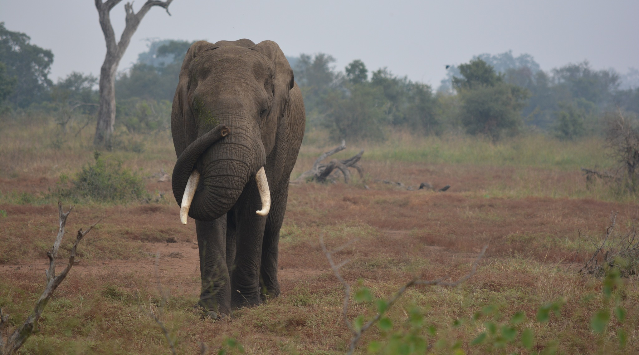 Elephant by godfreyanker