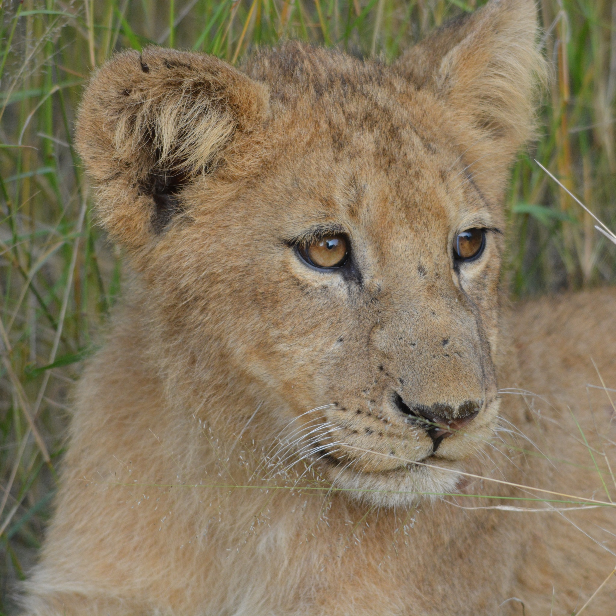 Lion Cub by godfreyanker