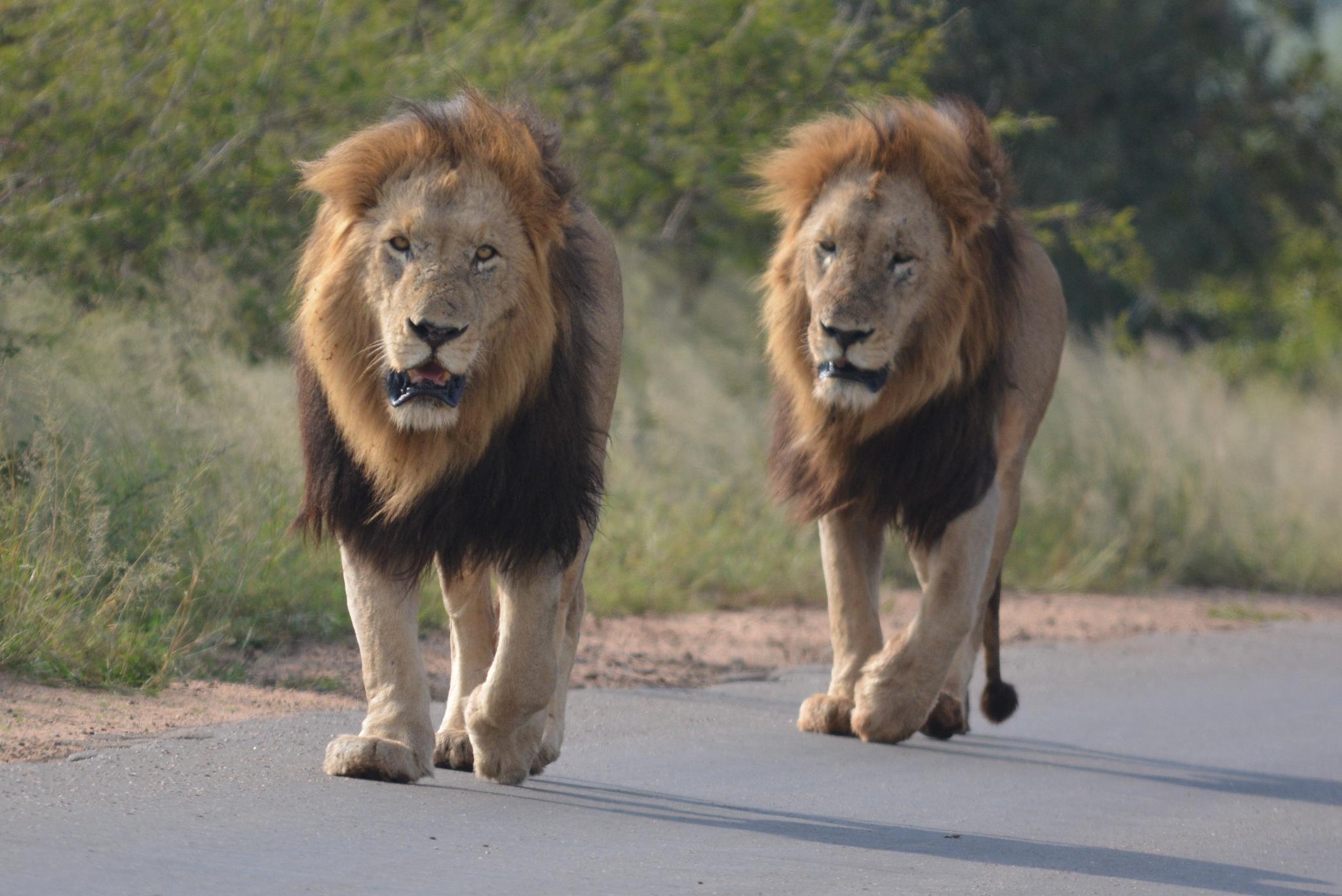 Lion by godfreyanker