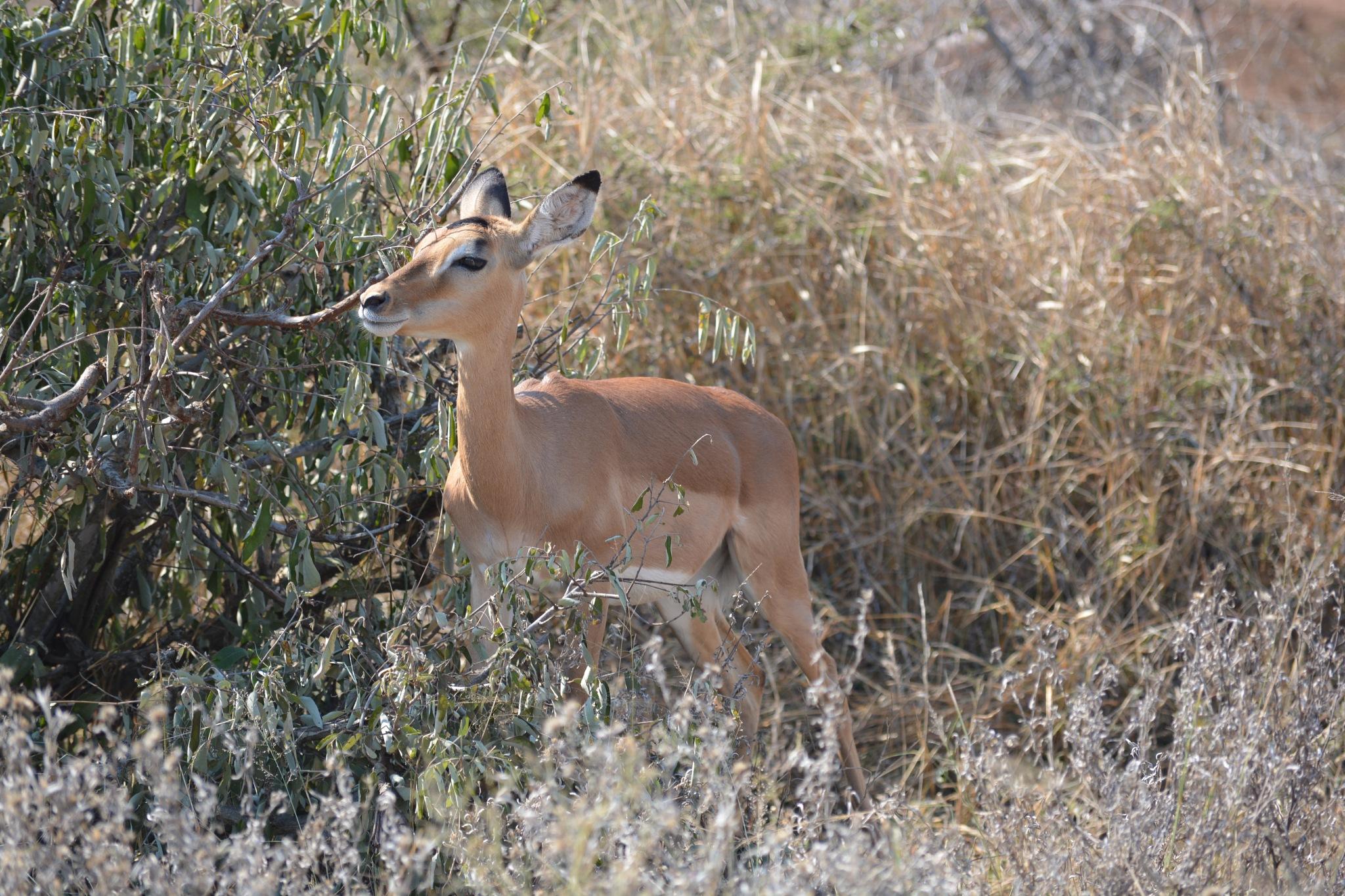 Impala by godfreyanker
