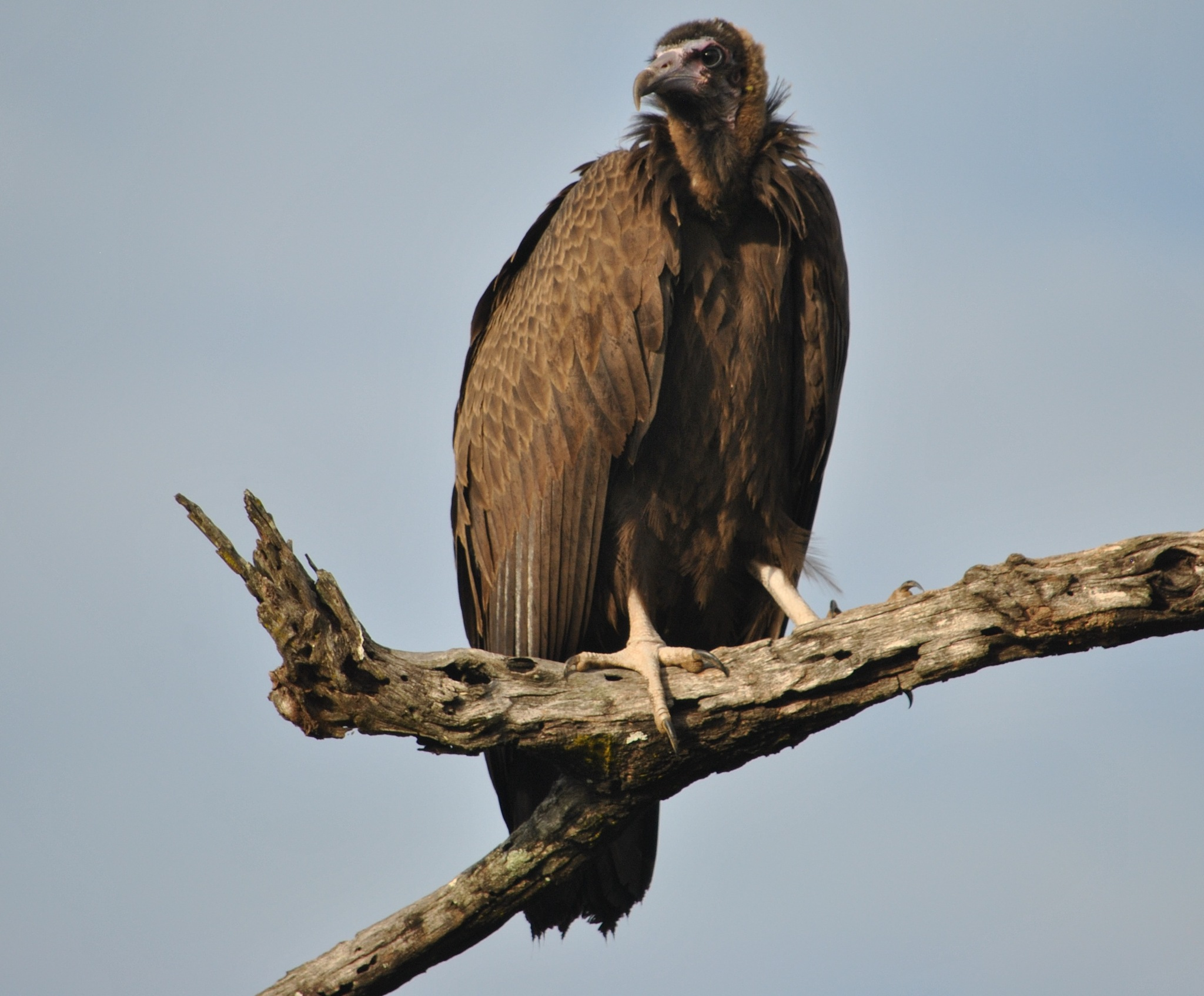 Hooded Vulture by godfreyanker
